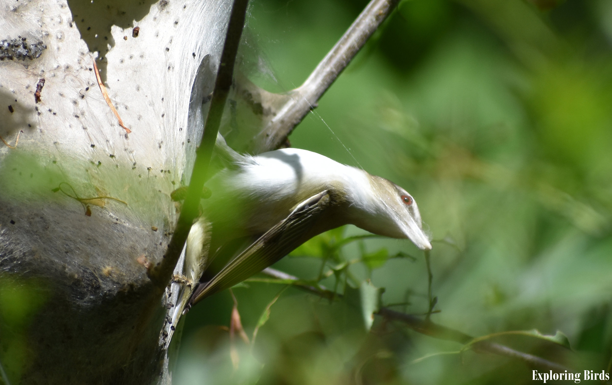 How to Attract Red-Eyed Vireo