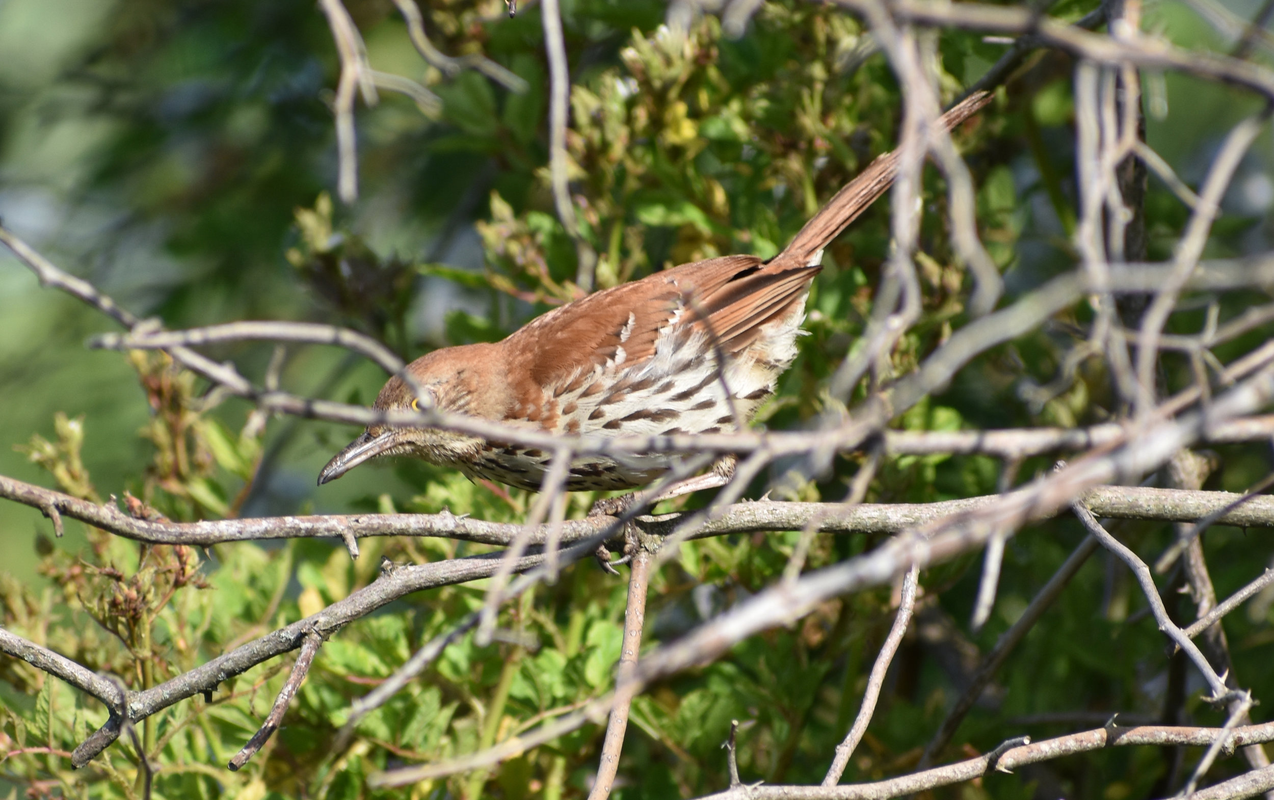 Brown Thrasher in thickets
