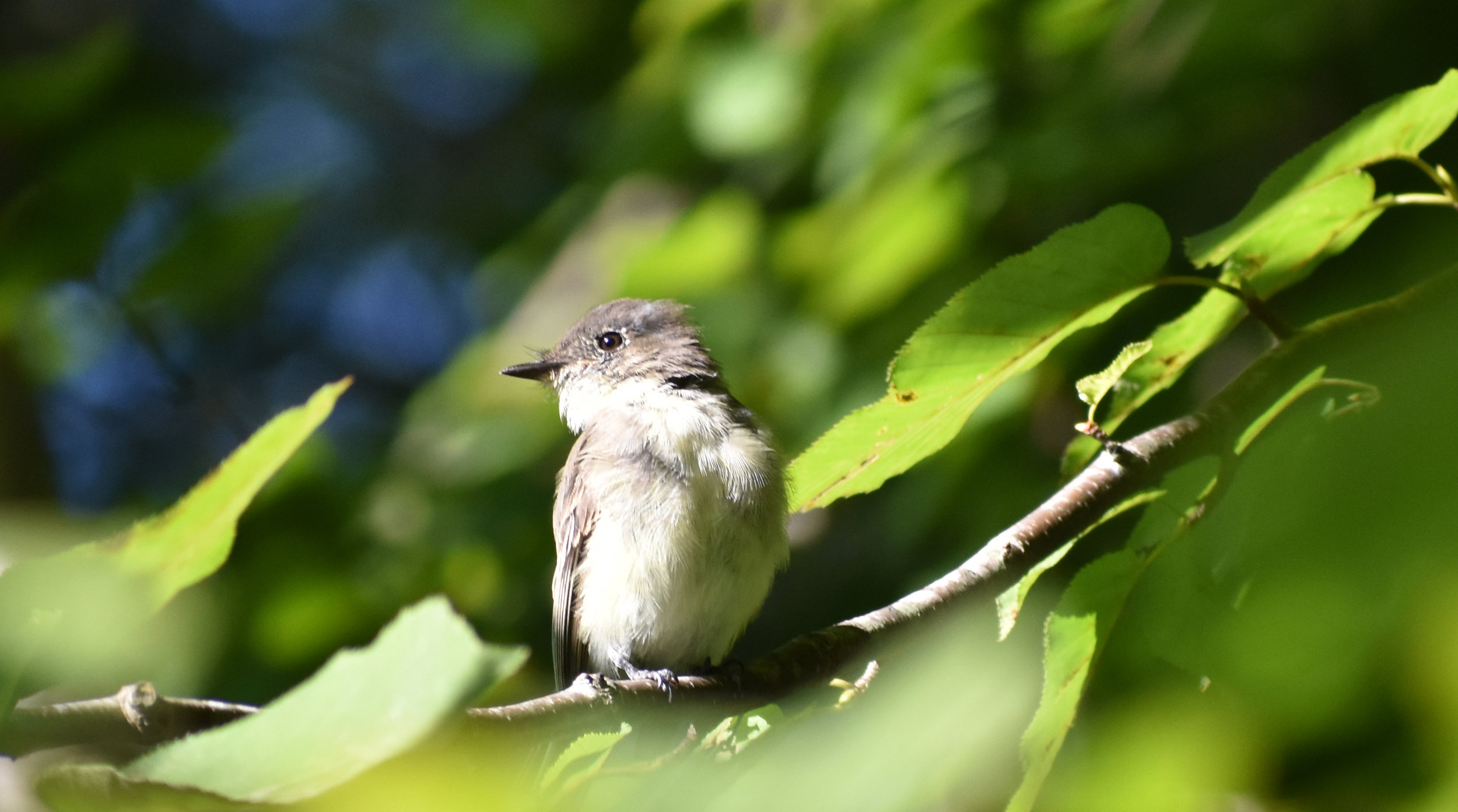 Eastern Phoebe in American Birch