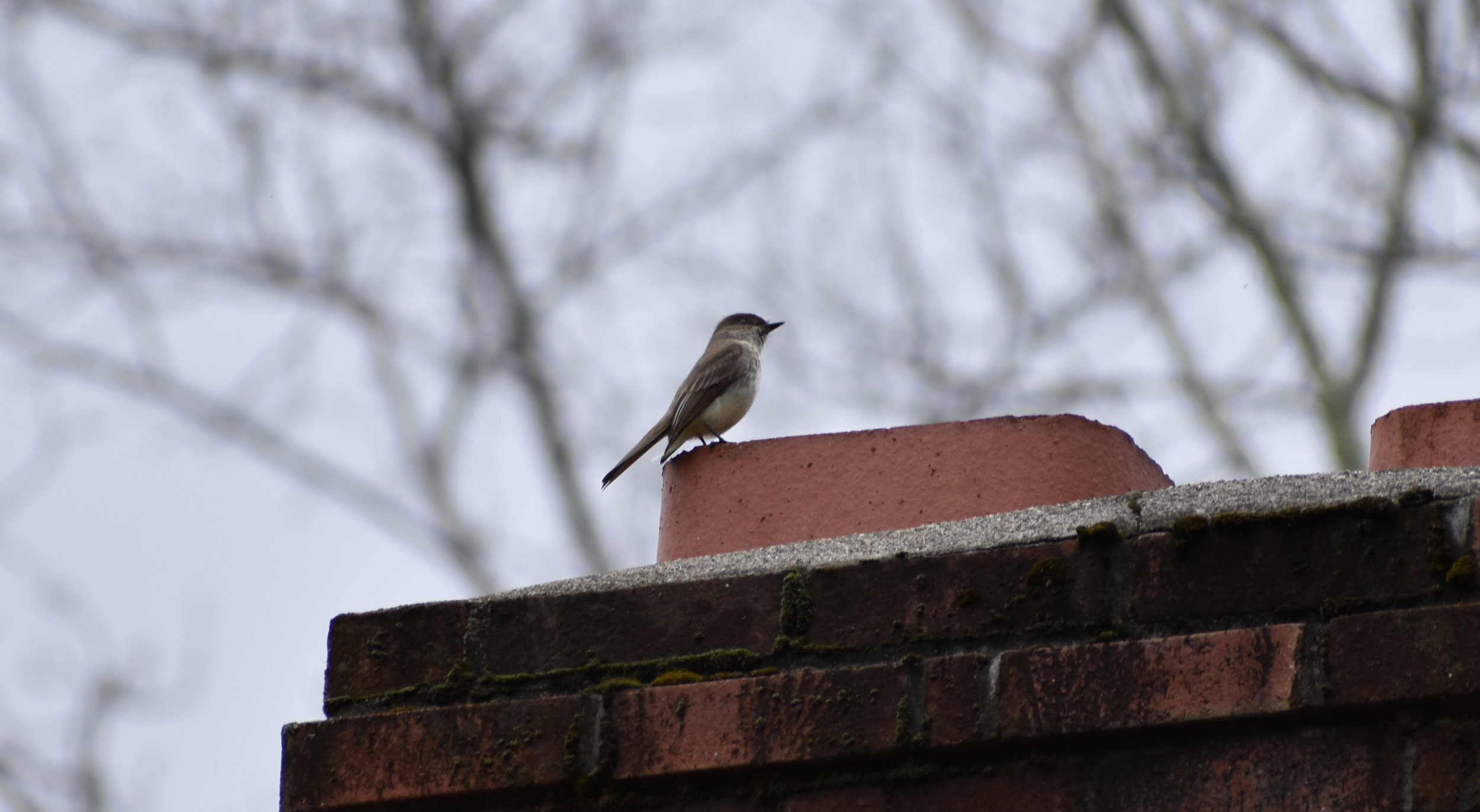 Eastern Phoebe perched on chimney