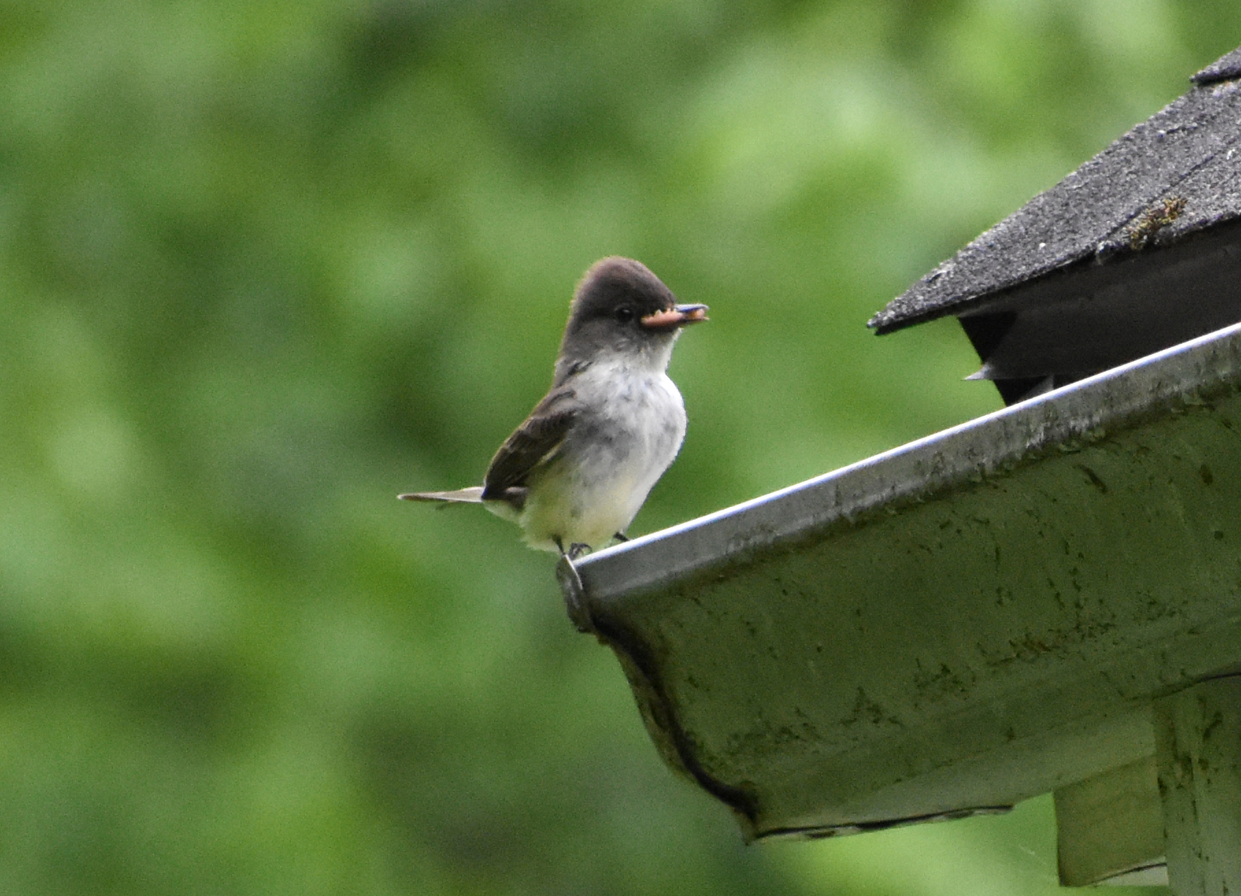 Eastern Phoebe with insect, perched on gutter