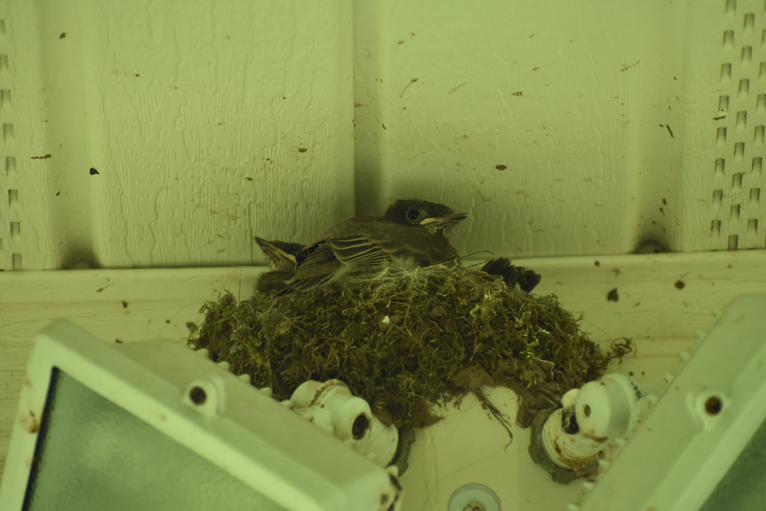 Eastern Phoebe in nest, located under eave of building