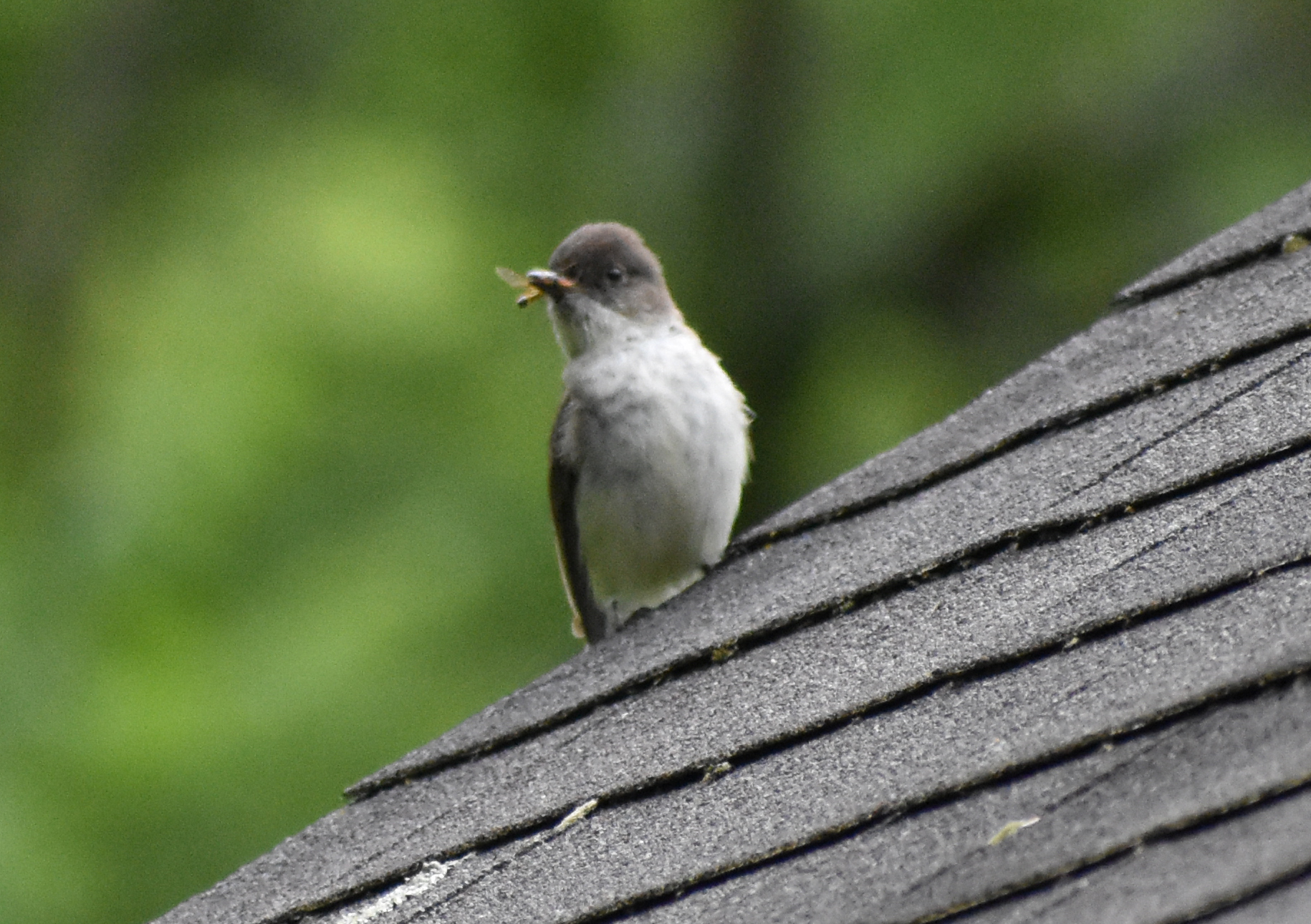 Eastern Phoebe with insect, perched on roof