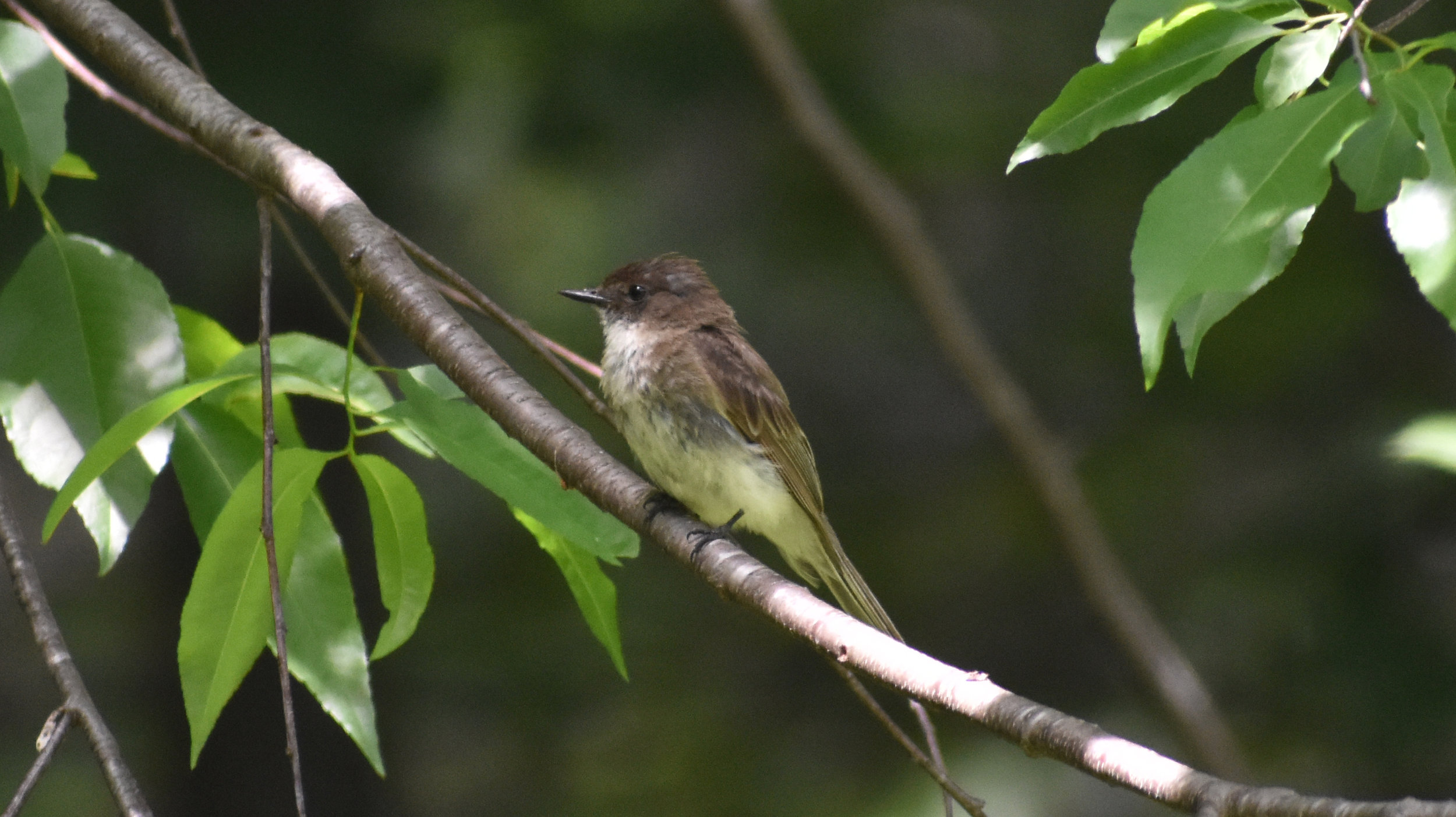 Eastern Phoebe in Wild Black Cherry