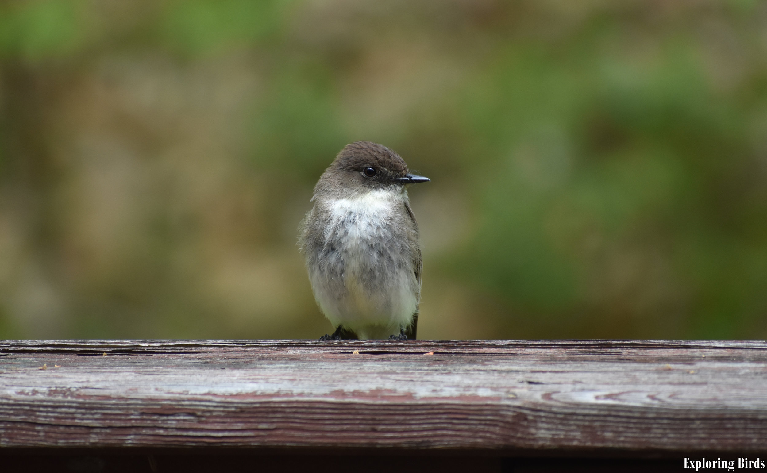How to Attract Eastern Phoebe
