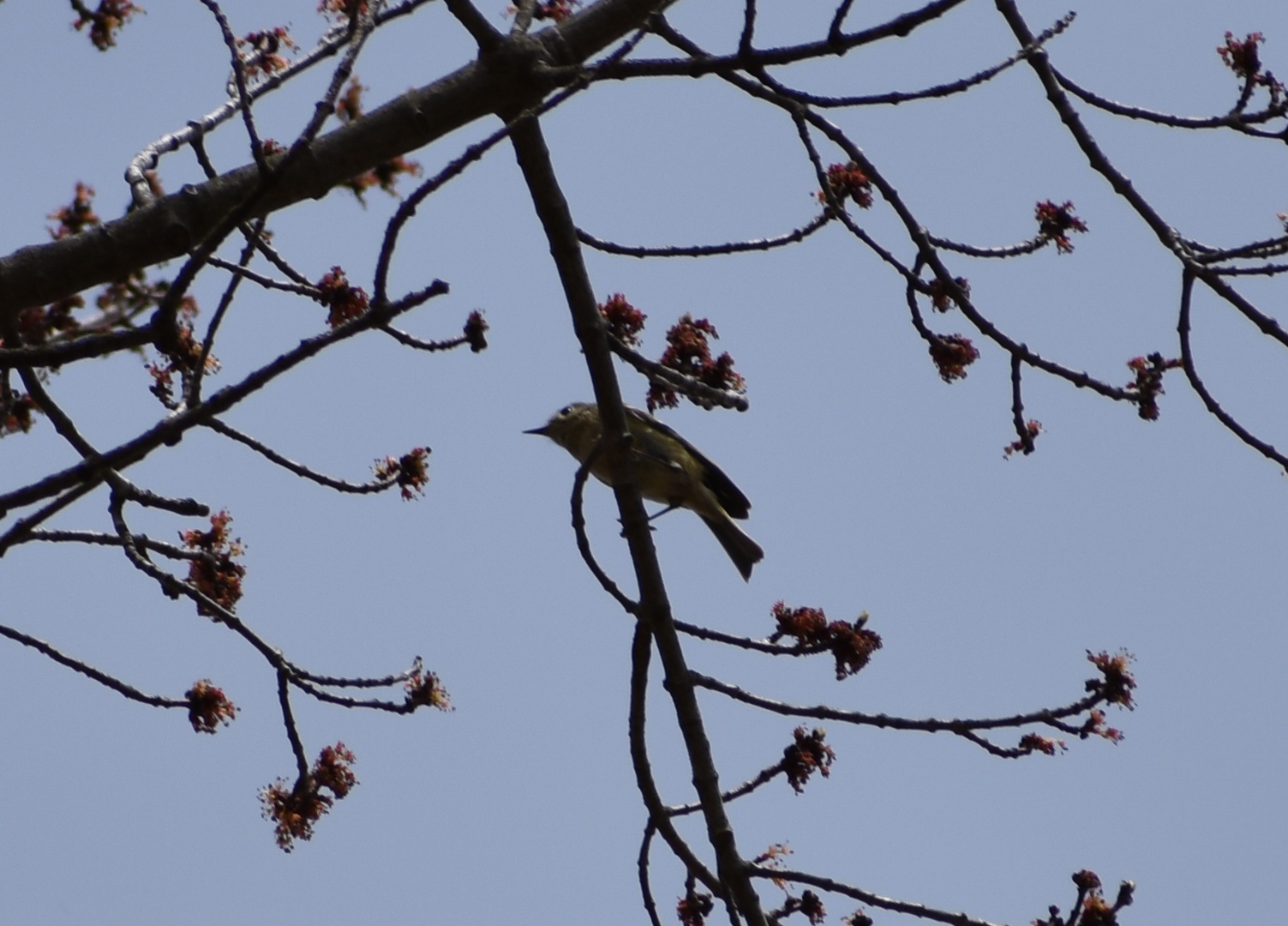 Ruby-Crowned Kinglet inspecting Red Maple Buds