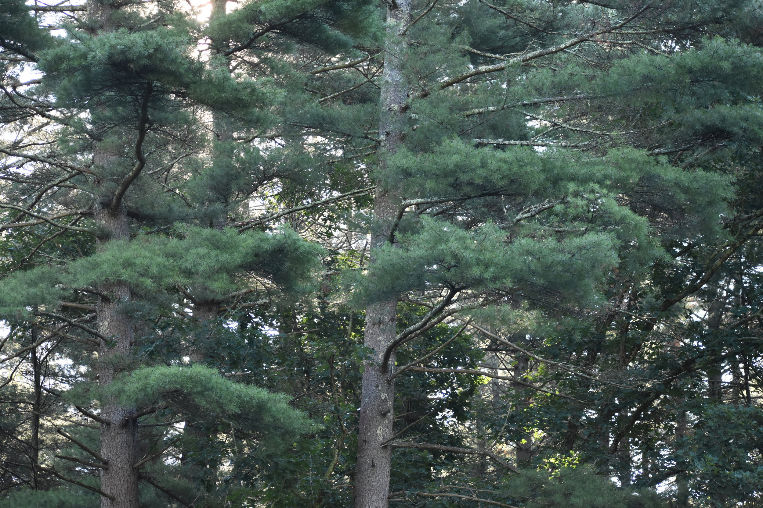 Habitat: Conifer Forest/Woodlands