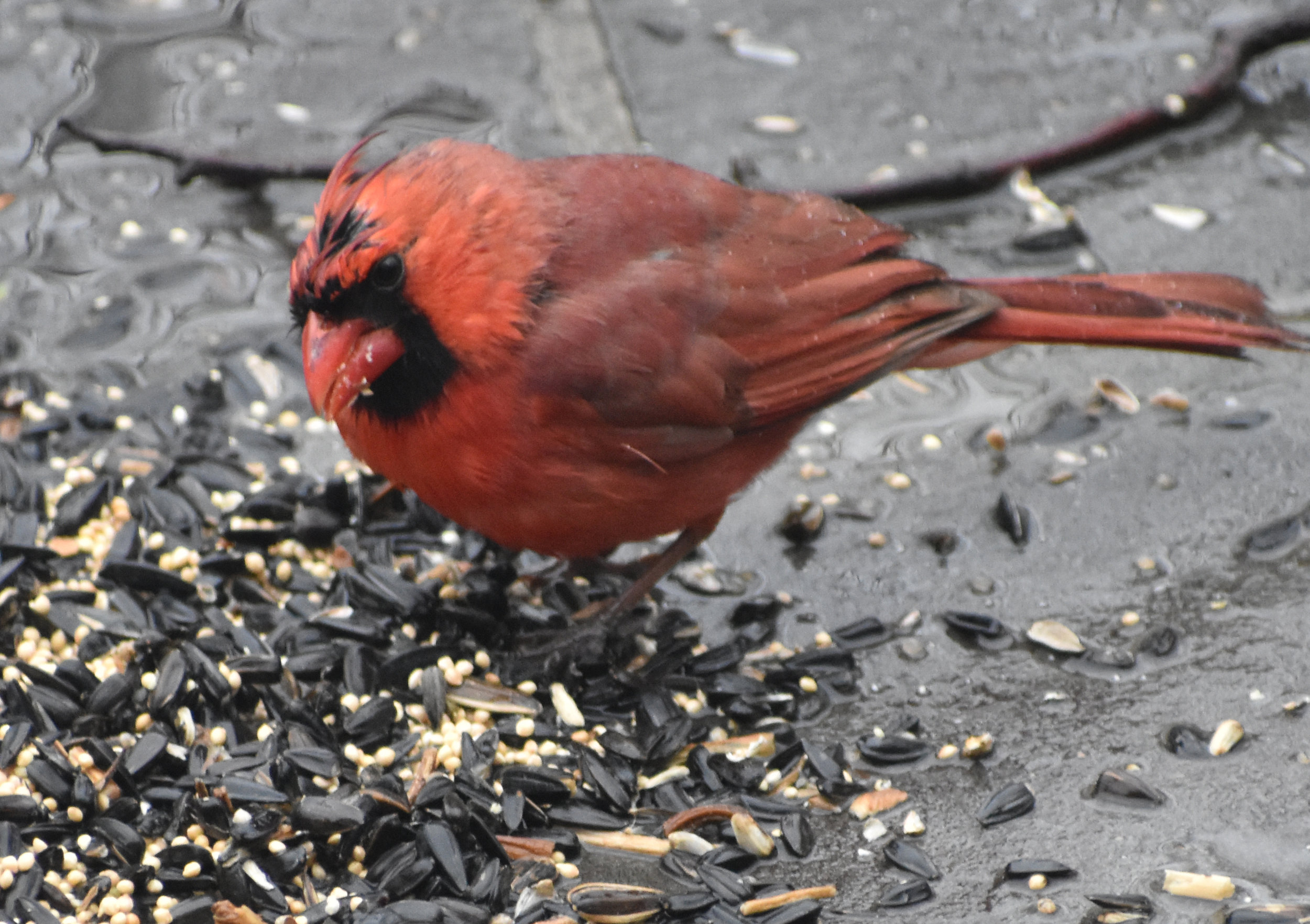 Northern Cardinal eating Black-Oil Sunflower Seeds