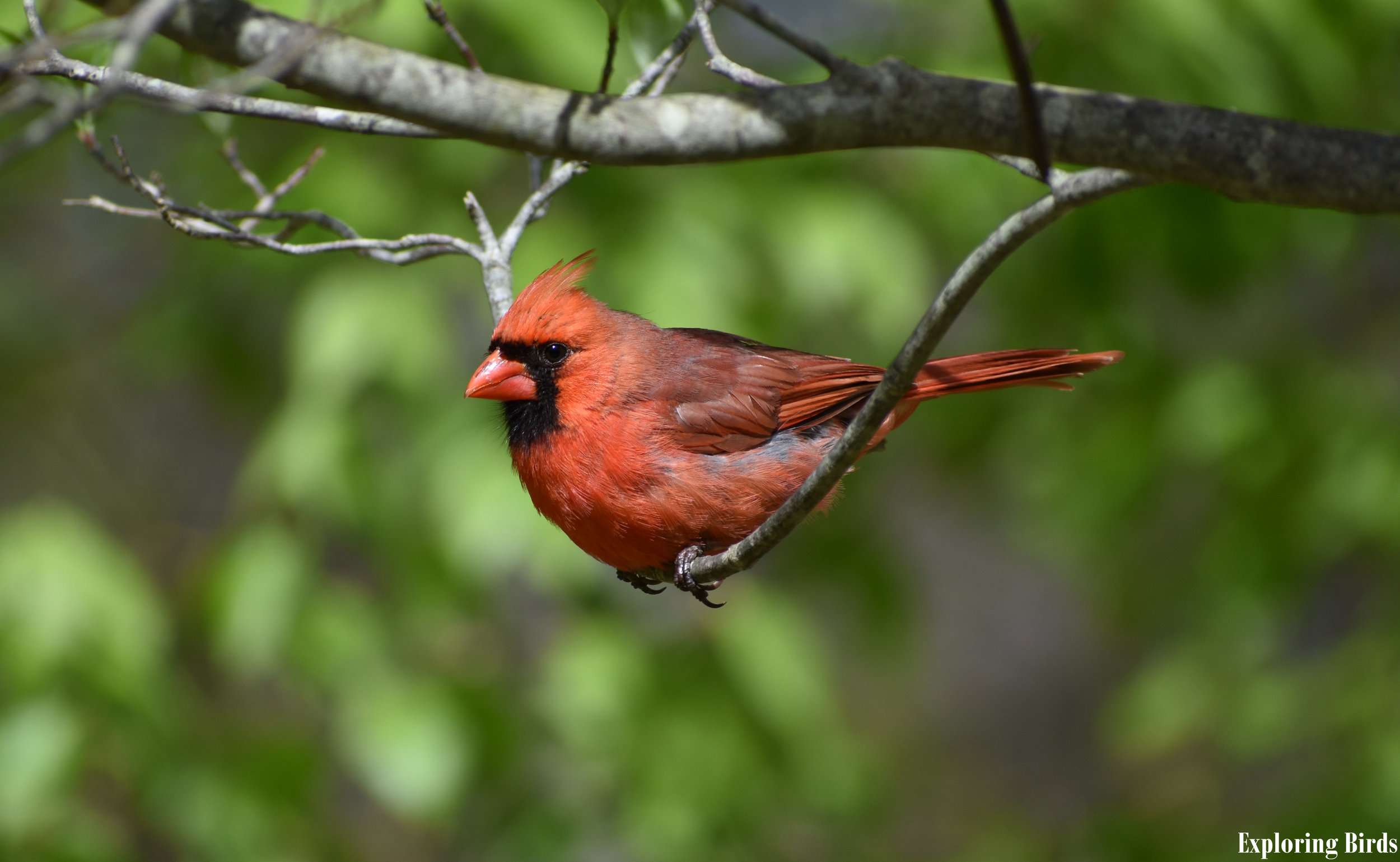 How to Attract Northern Cardinal