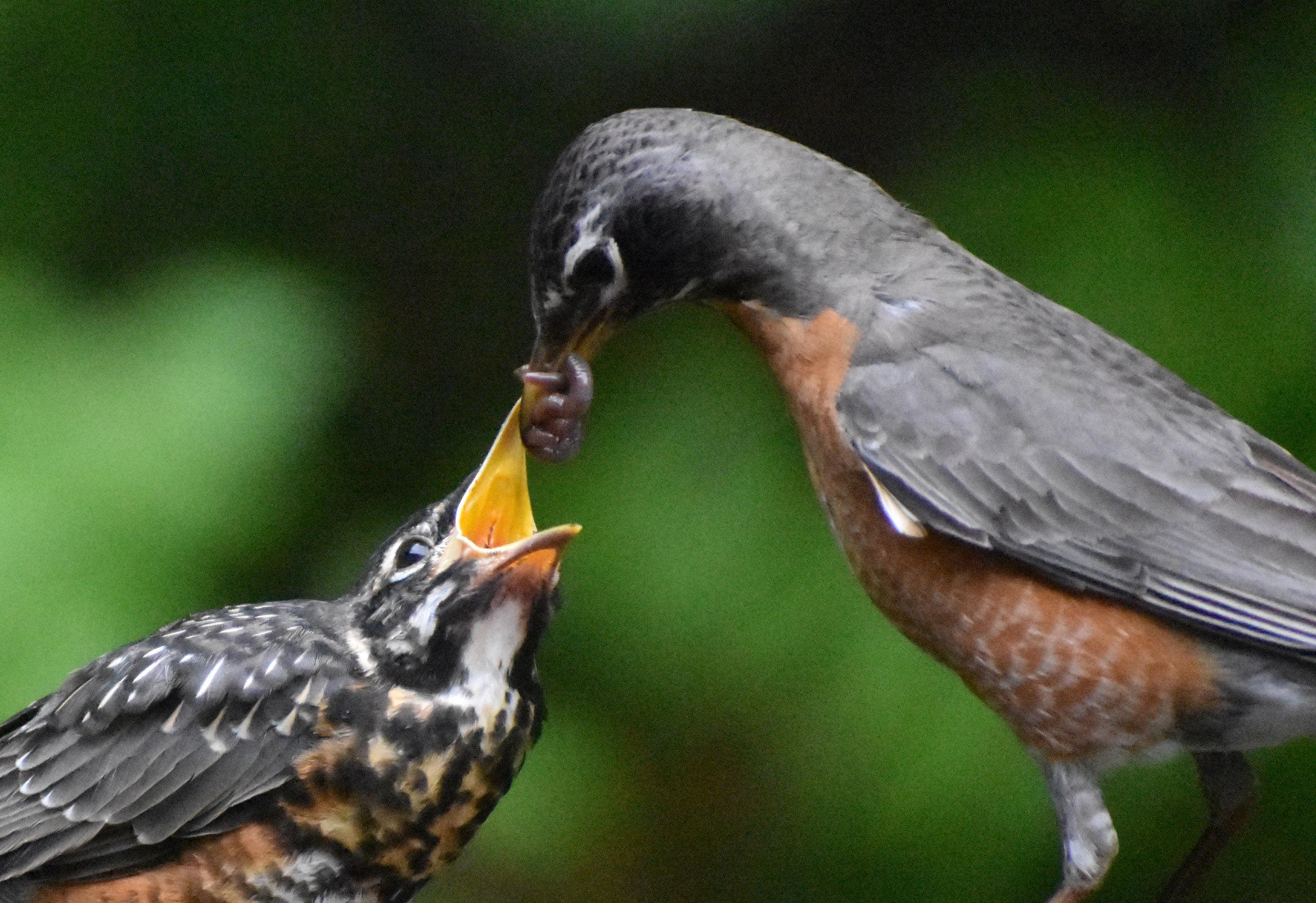 American Robin feeding young earthworms