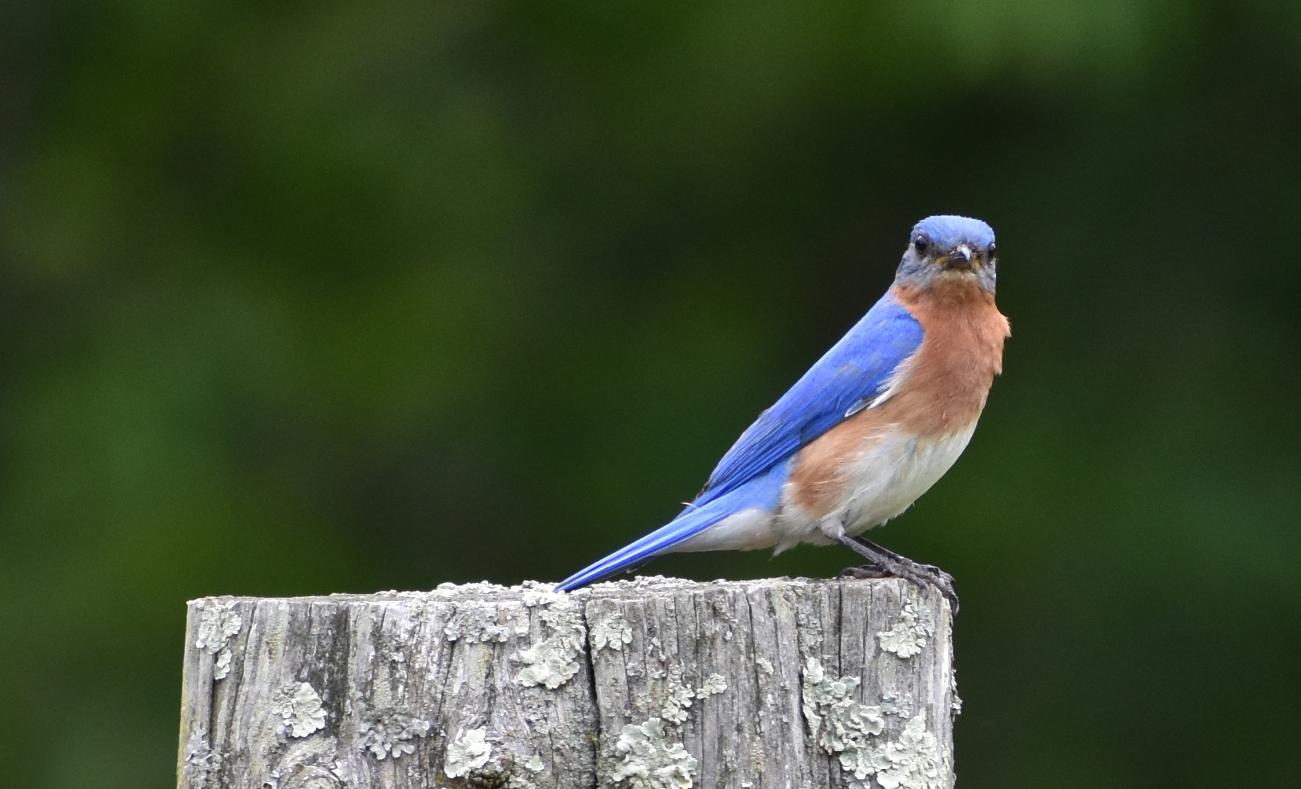 Eastern Bluebird perched on fence post