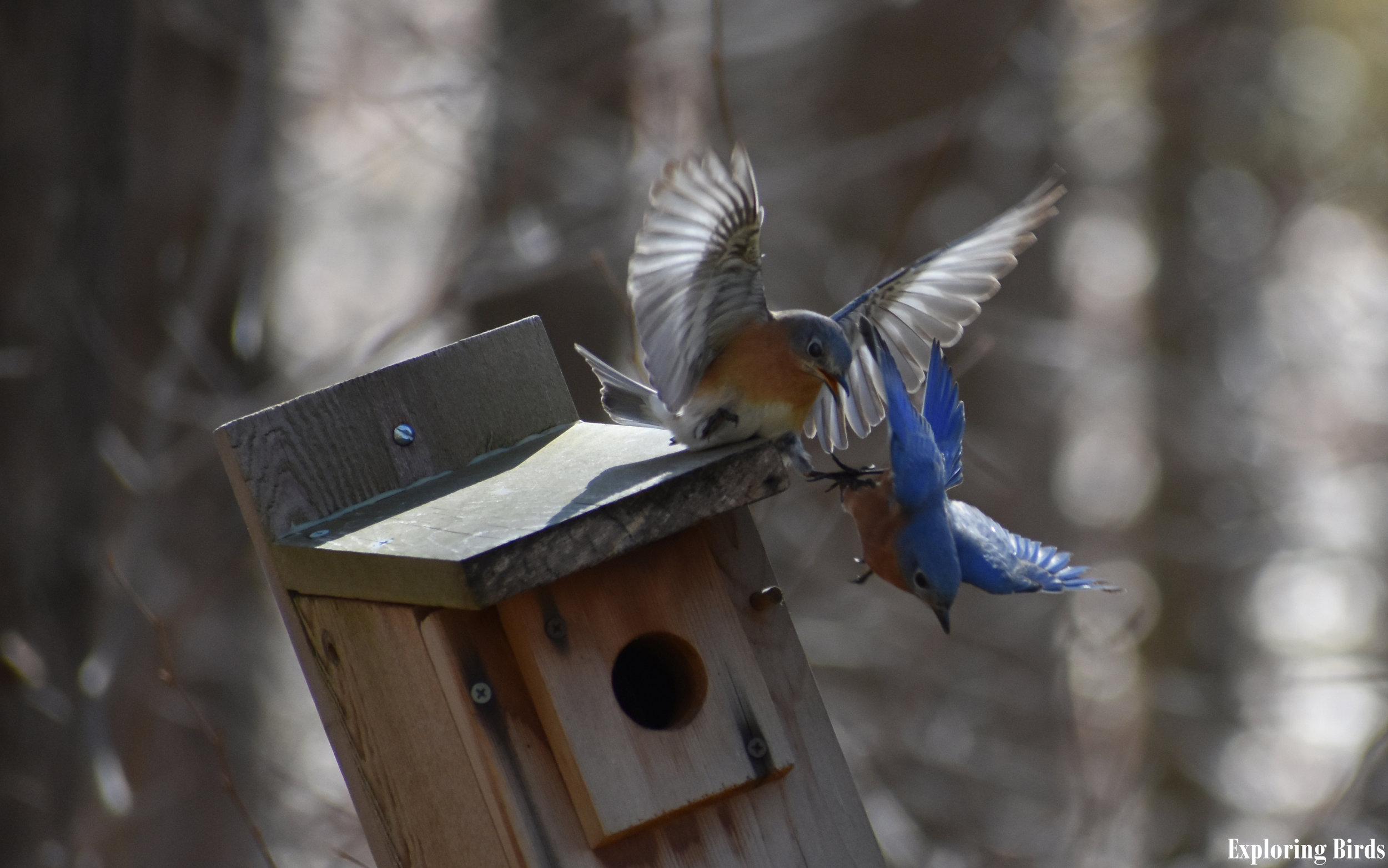 How to Attract Eastern Bluebird