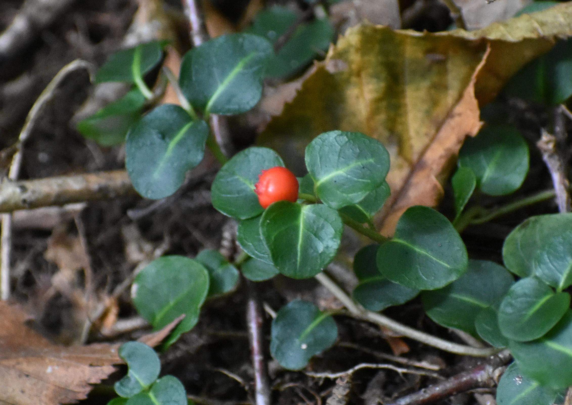 Partrdige Berry