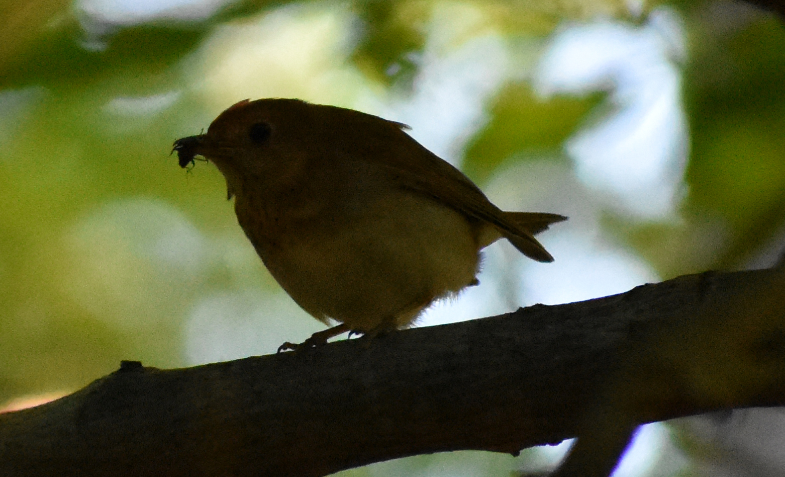 Veery eating an insect