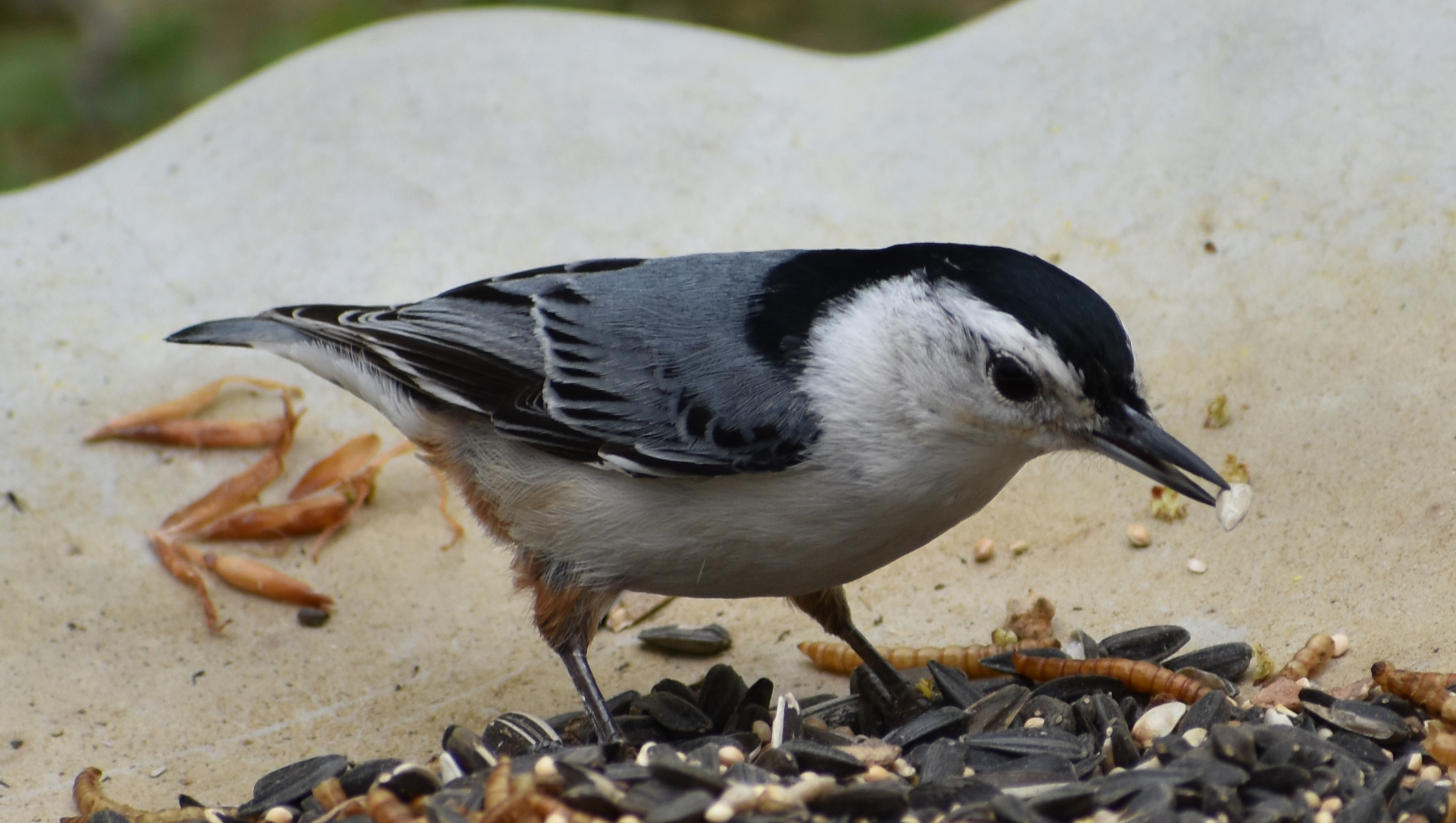 White-Breasted Nuthatch eating Sunflower Seed