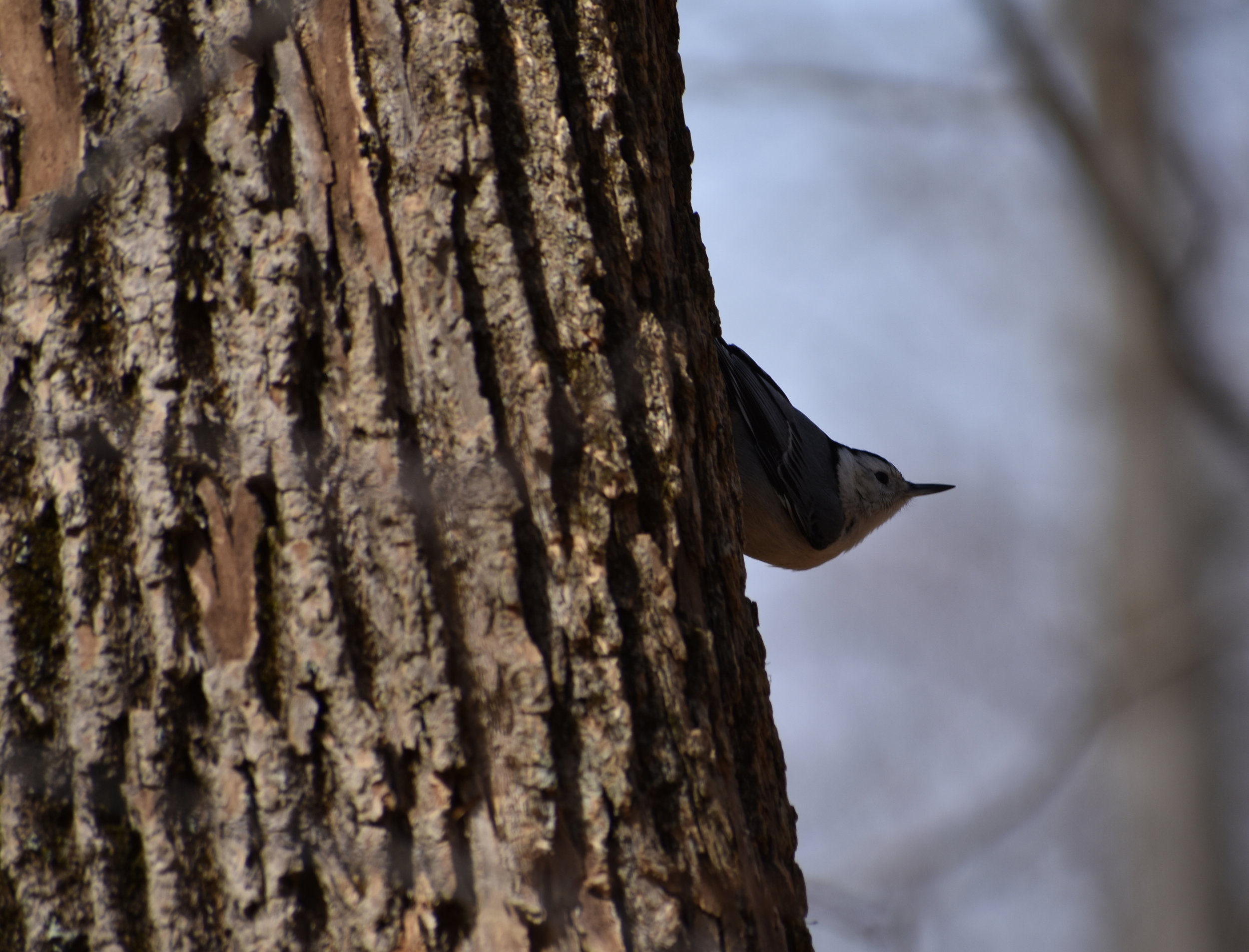 White-Breasted Nuthatch on Ash Tree
