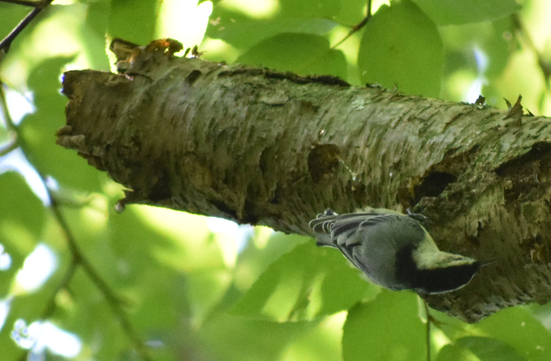 White-Breasted Nuthatch on Dead Yellow Birch
