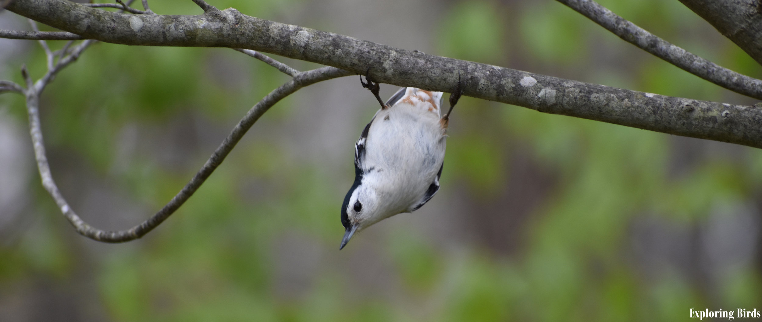 How to Attract White-Breasted Nuthatch
