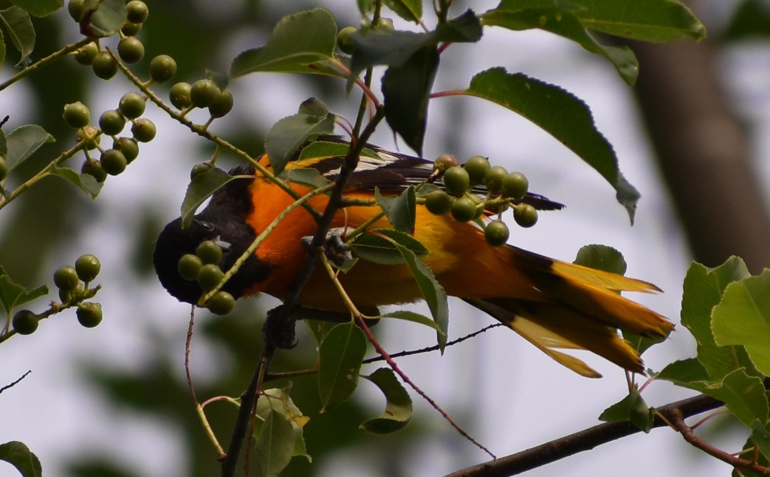 Baltimore Oriole in Wild Black Cherry