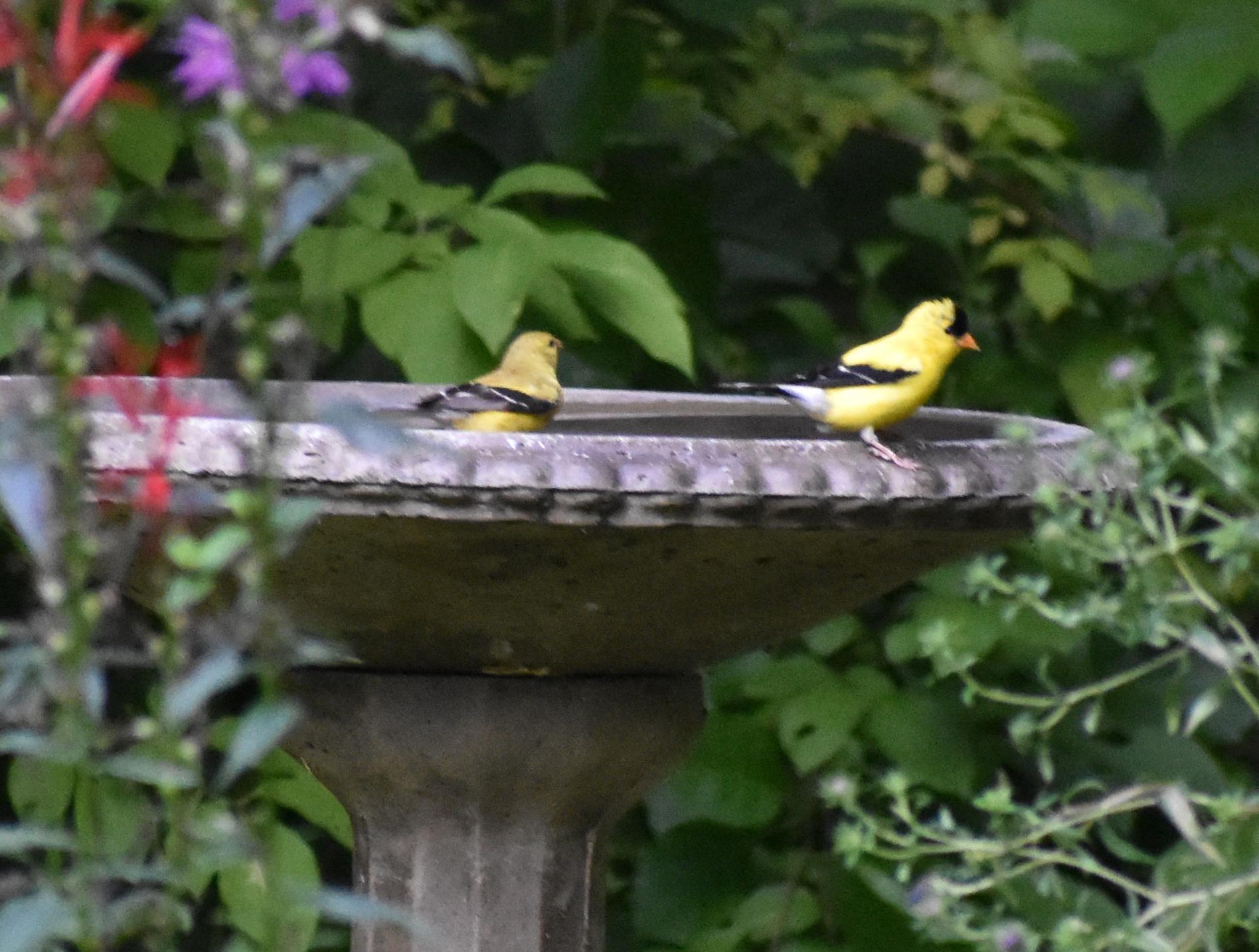 American Goldfinches at birdbath