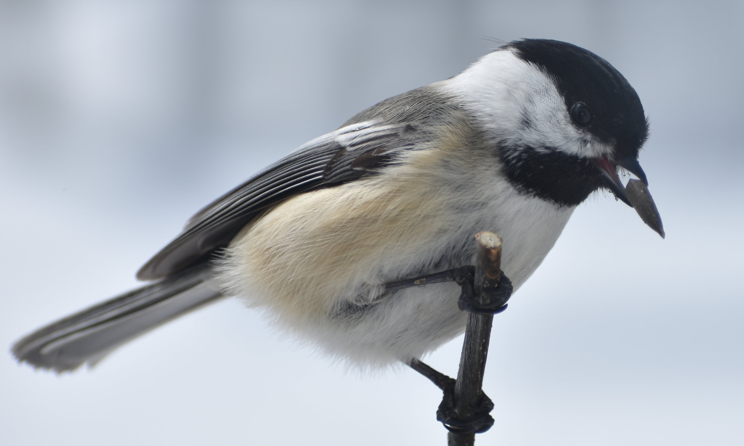 Black-Capped Chickadee eating Sunflower Seed