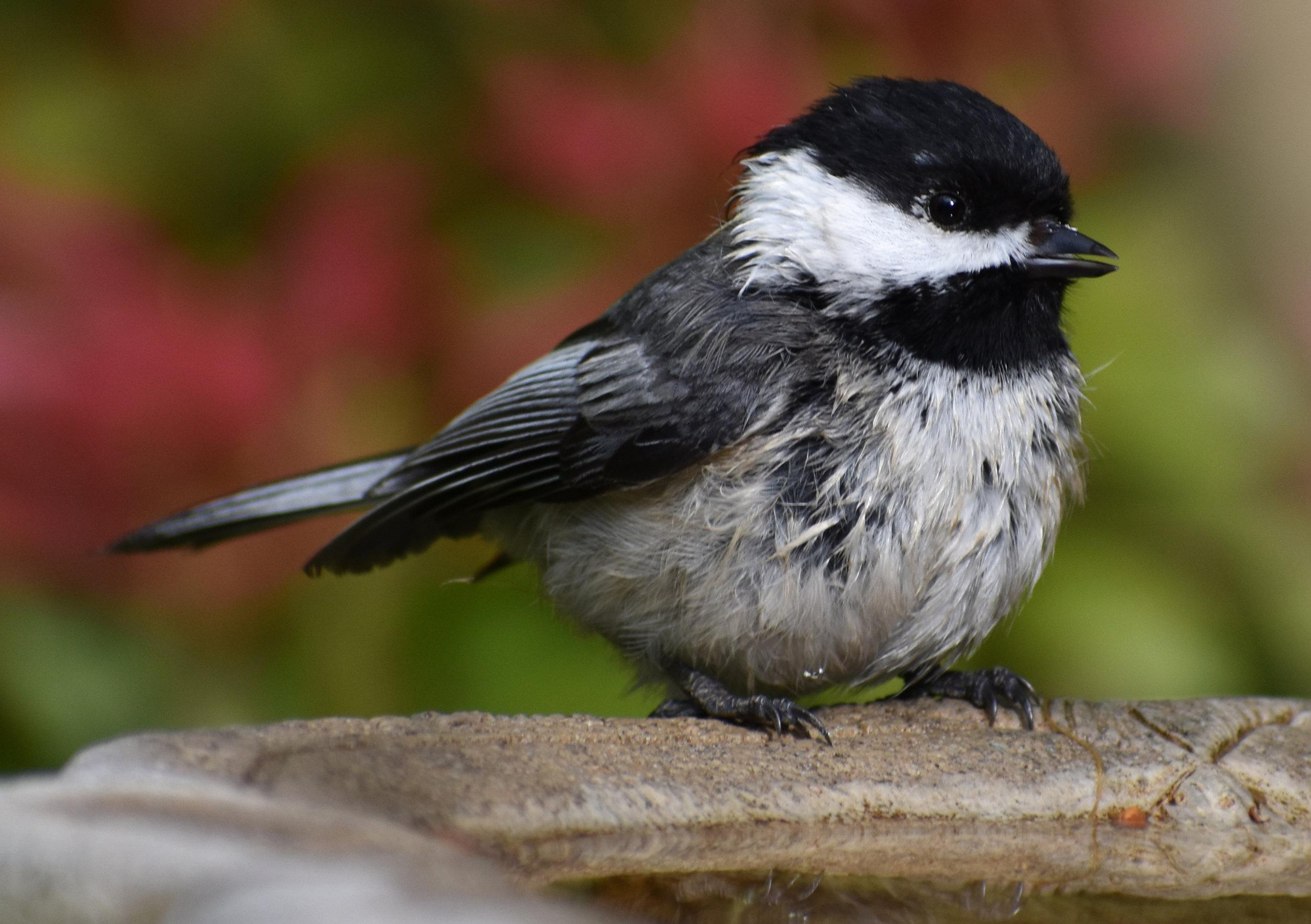Black-Capped Chickadee at Birdbath