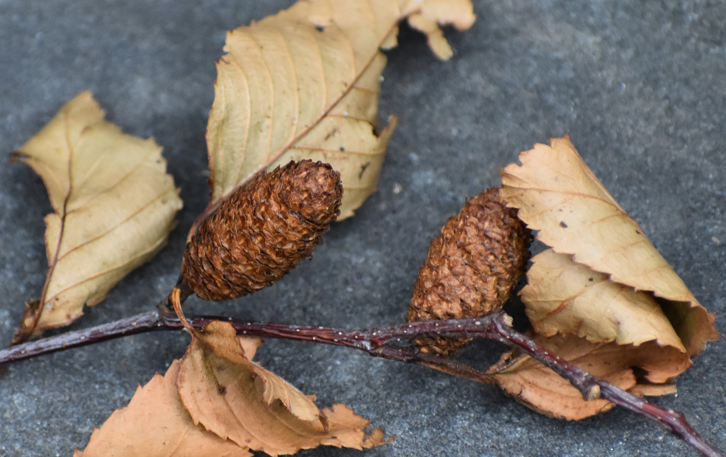 American Birch Seeds