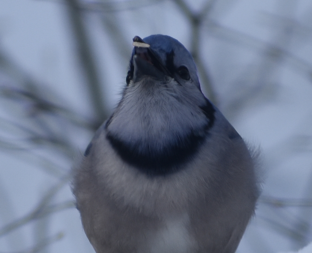Blue Jay eating Sunflower Seed