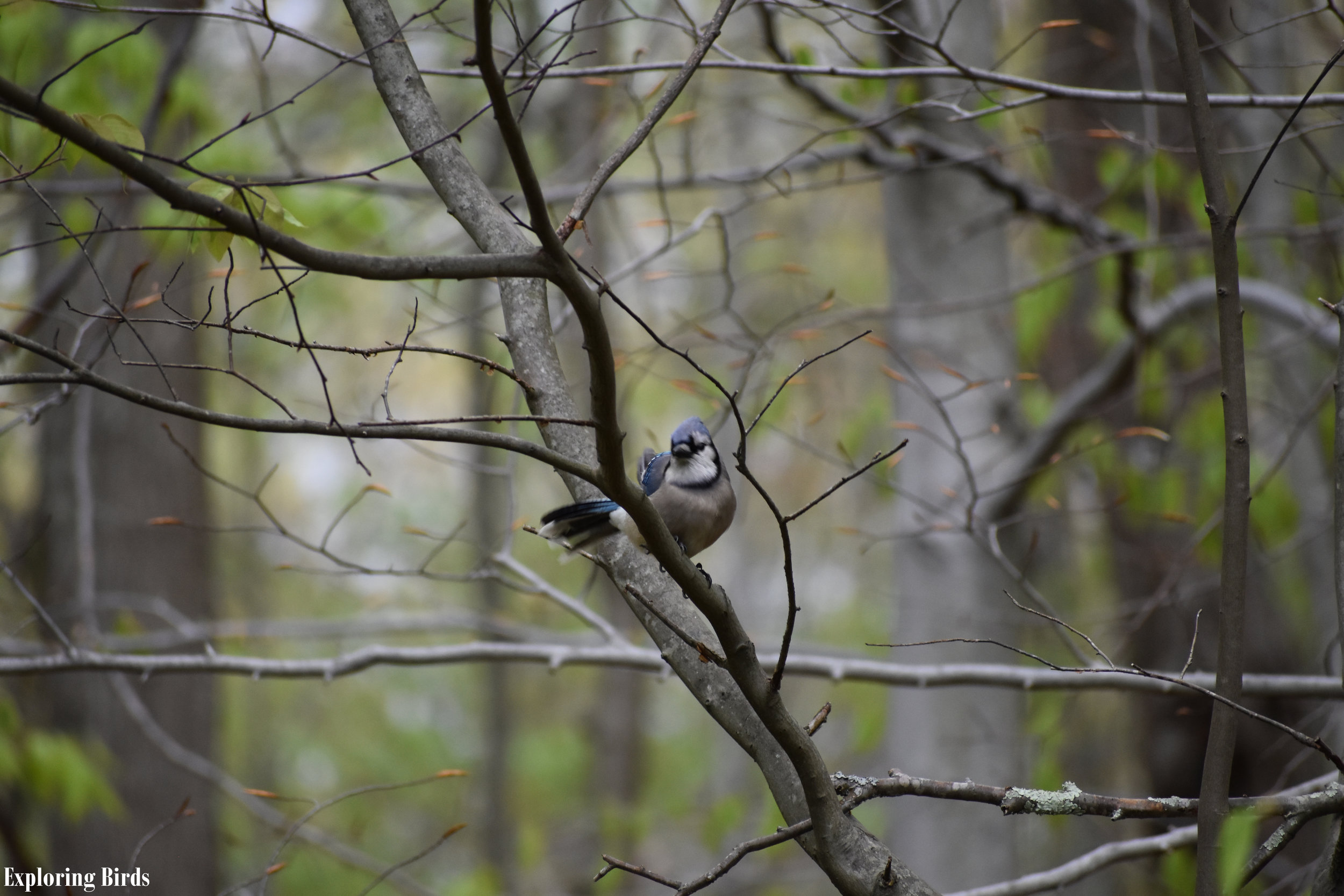 How to Attract Blue Jay