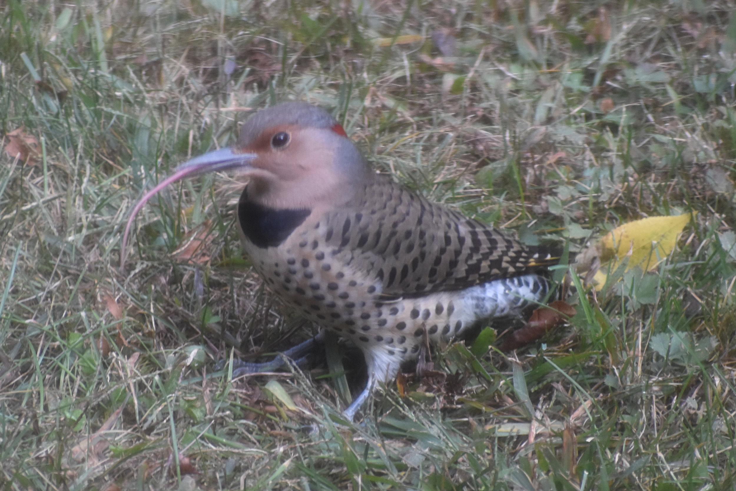 Northern Flicker using long tongue to probe for ants