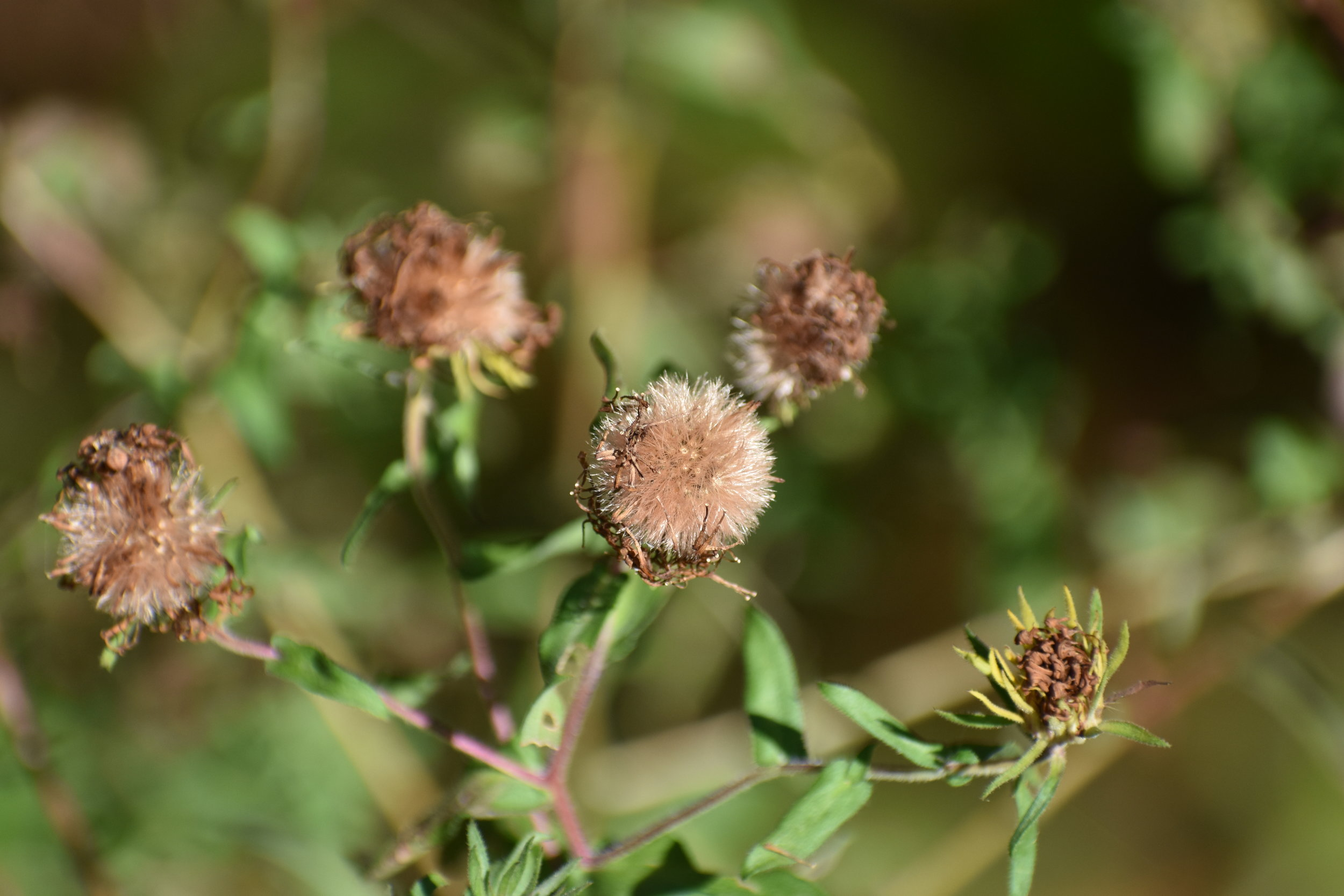 New England Aster - Seed Head