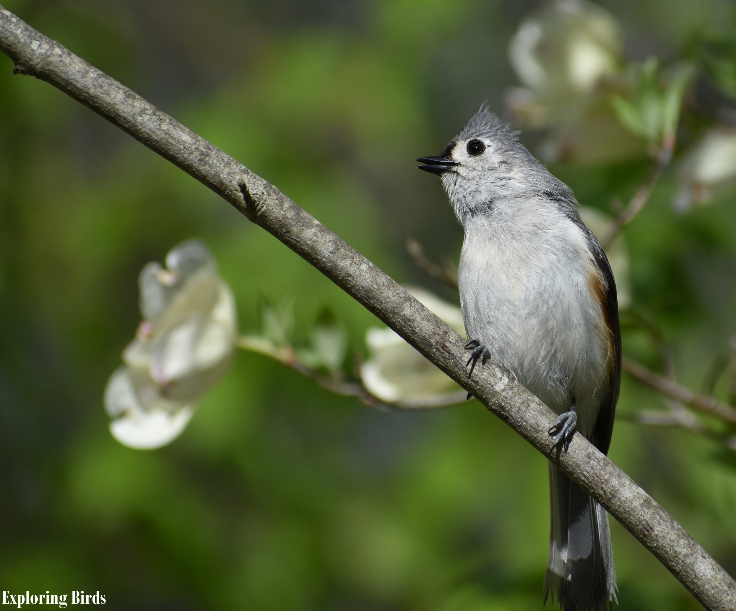 How to Attract Tufted Titmouse