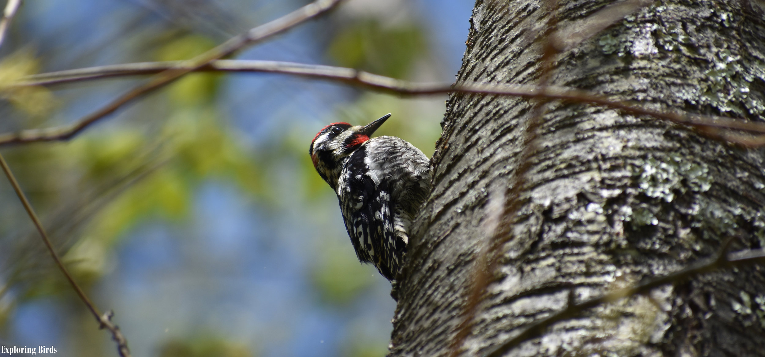 Ho to Attract Yellow-Bellied Sapsucker