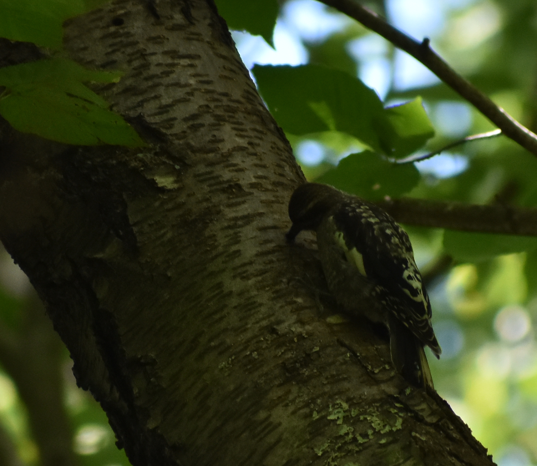 Yellow-Bellied Sapsucker drilling into Sweet Birch