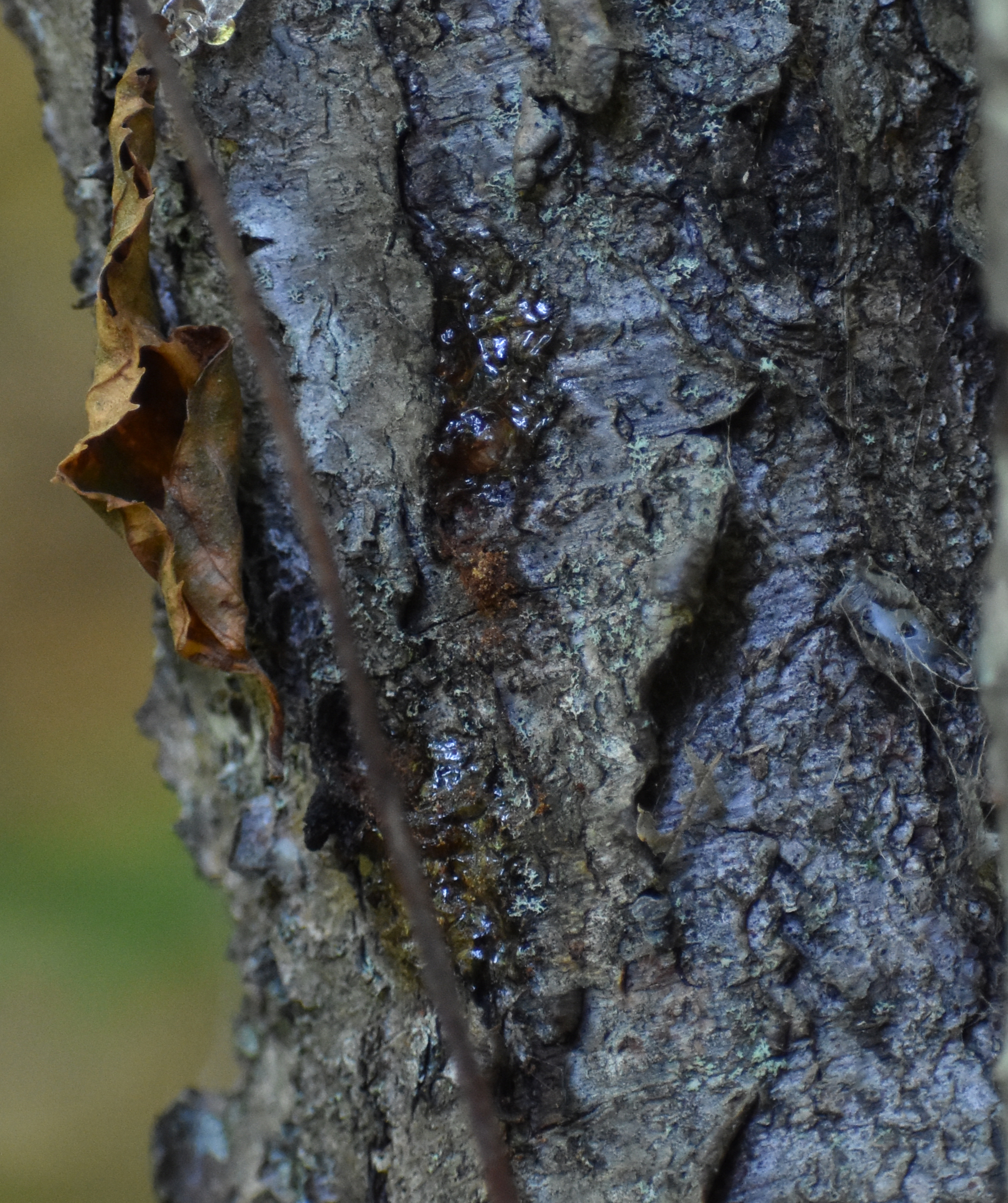 Wild Cherry Bark (see sap)