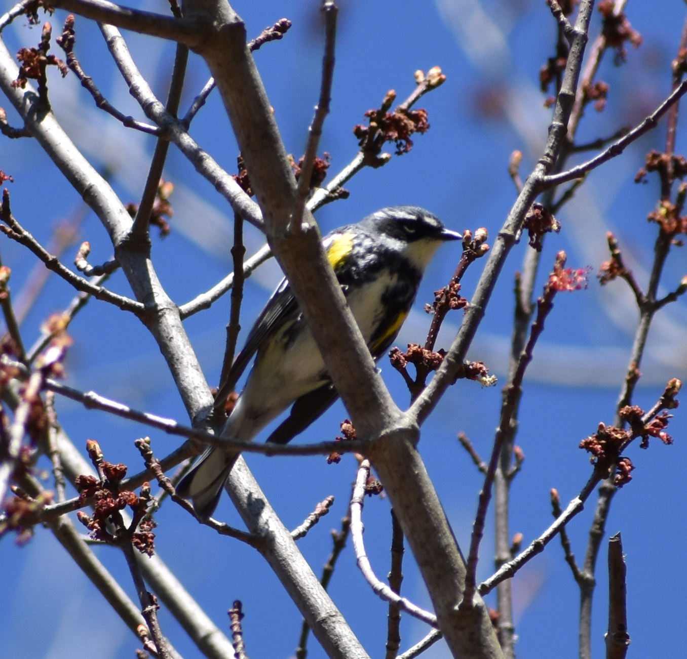 Yellow-Rumped Warbler in Red Maple