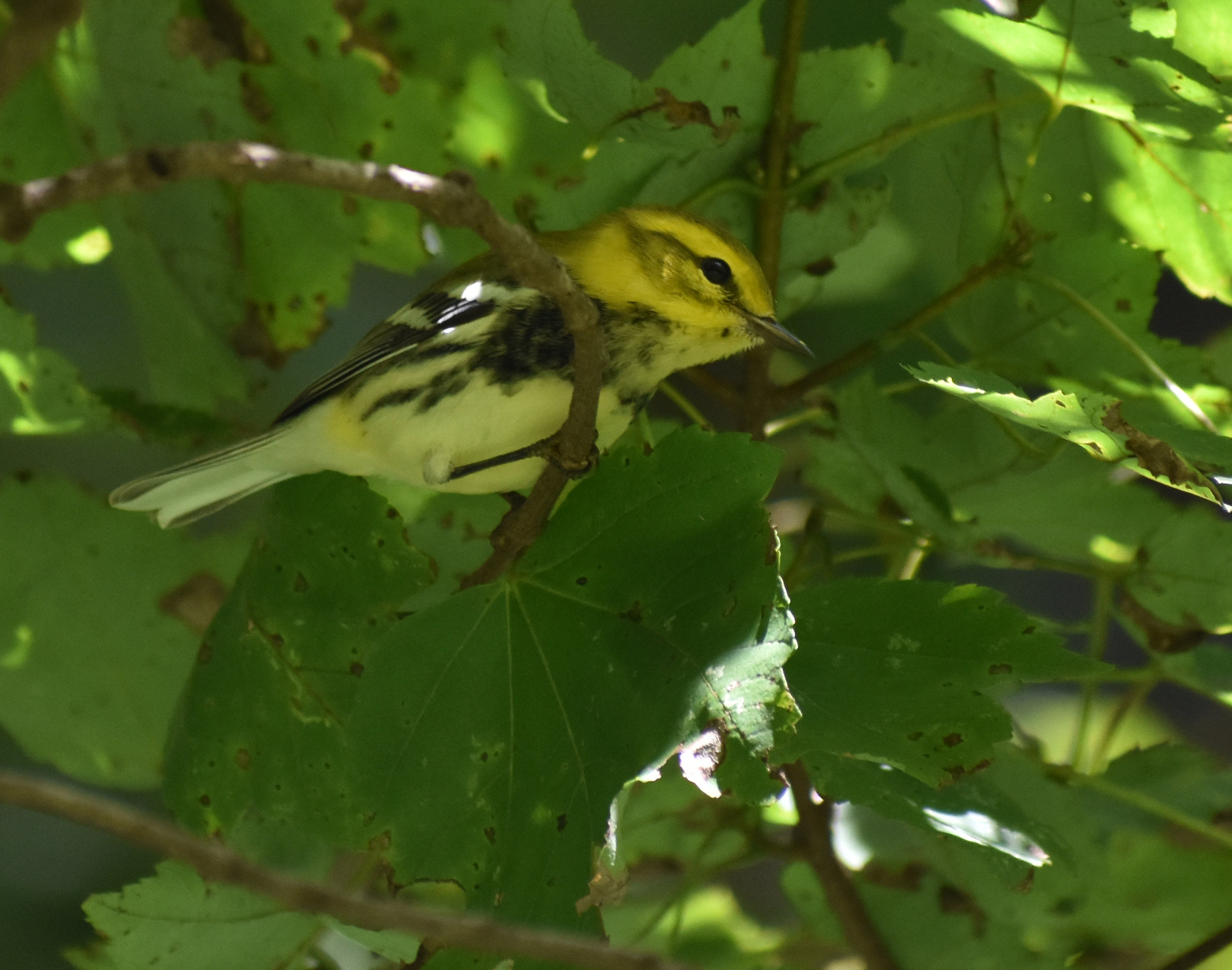 Black-Throated Green Warbler in Red Maple