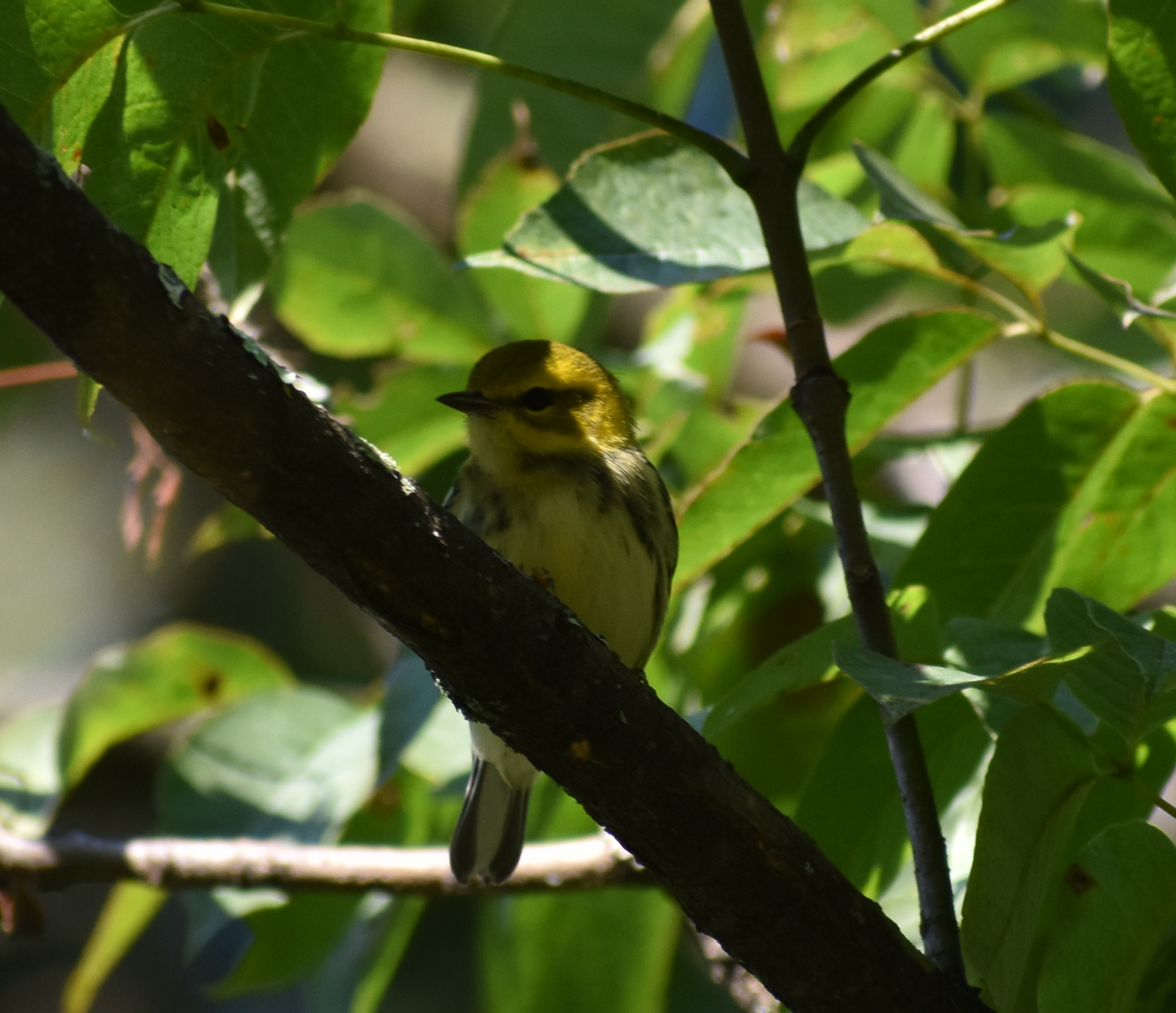 Black-Throated Green Warbler in Ash Tree