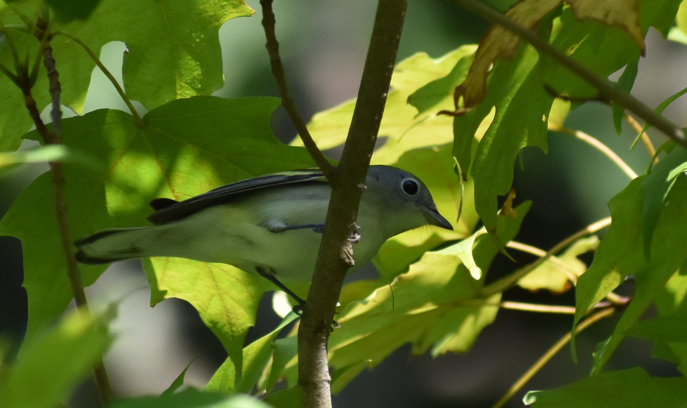 Chestnut-Sided Warbler in Red Maple