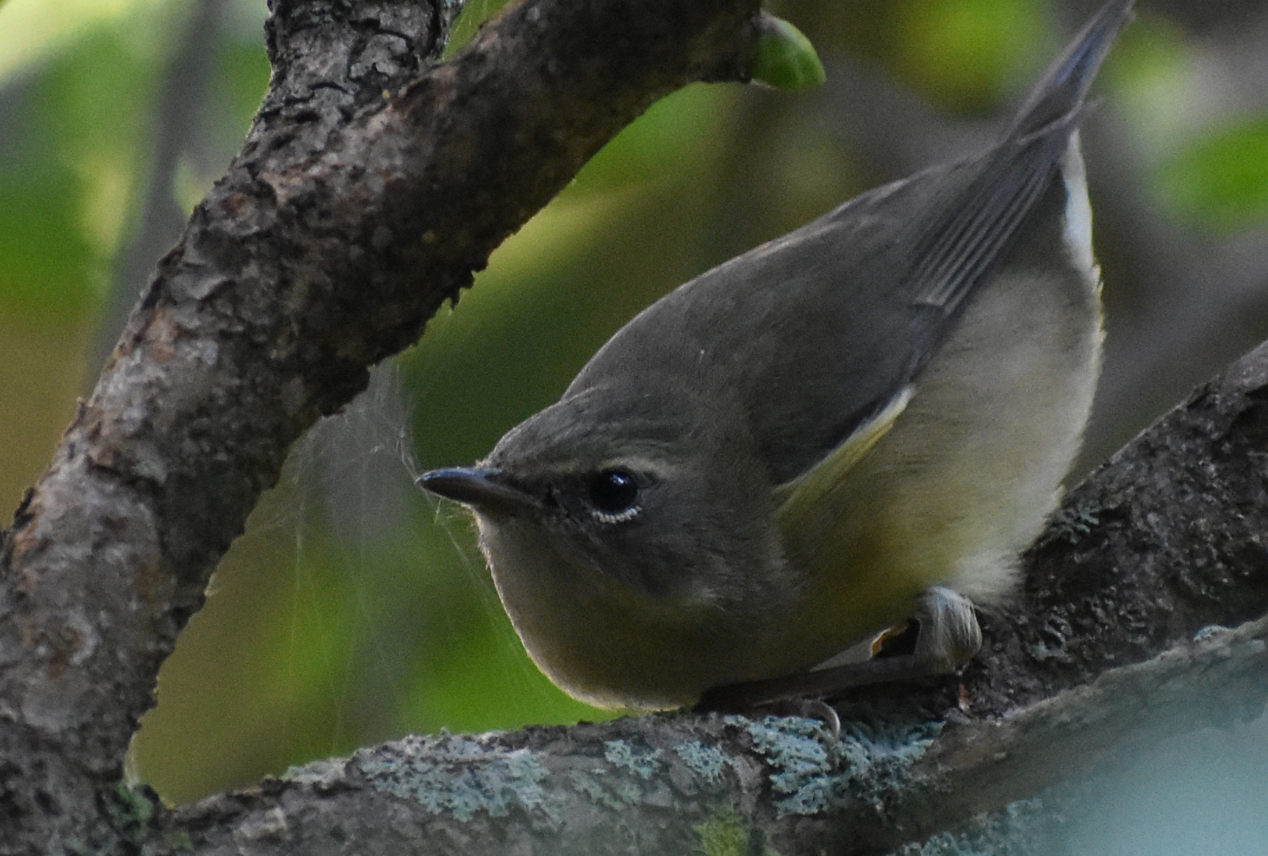 Black-Throated Blue Warbler raiding a spider web