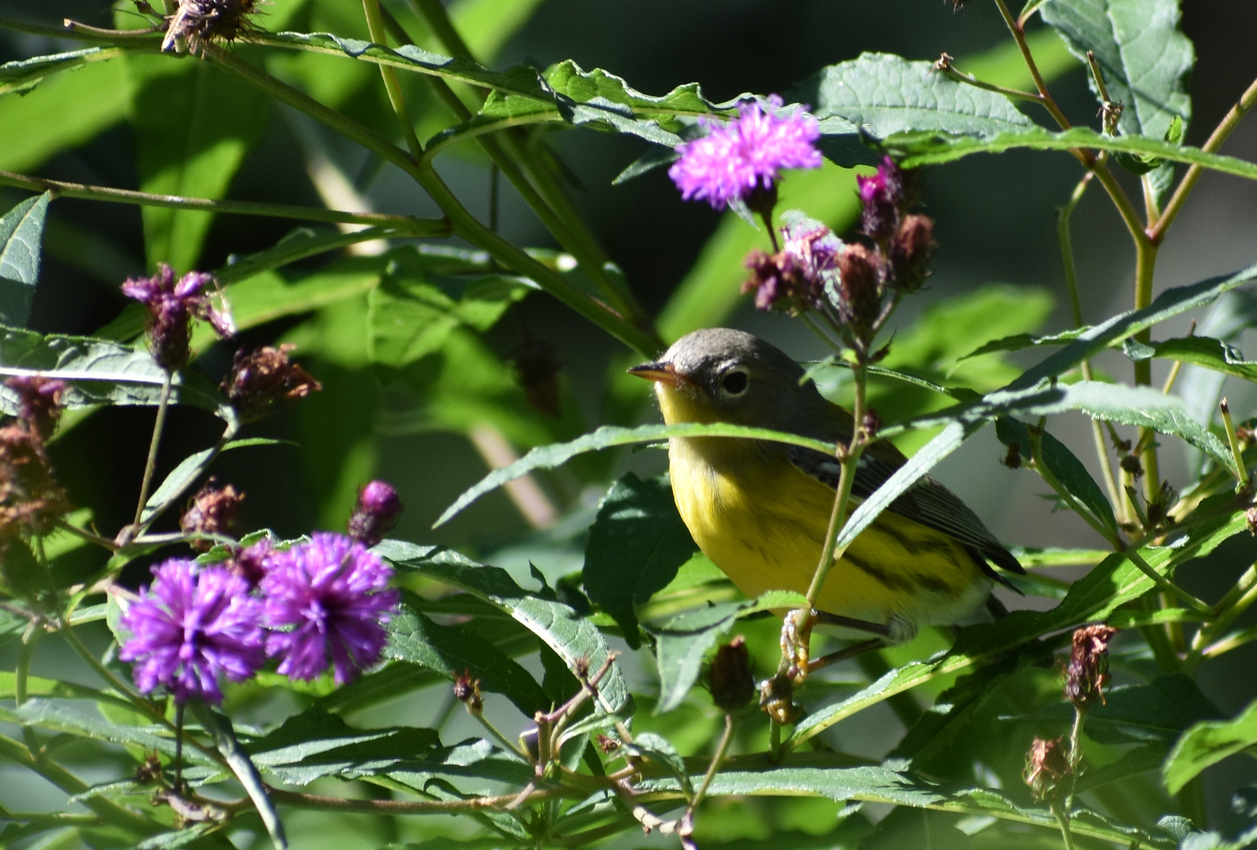 Magnolia Warbler in New York Ironweed