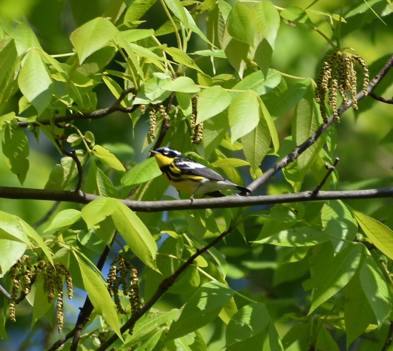 Magnolia Warbler in Hickory