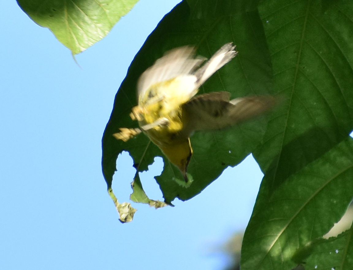 Blue Winged Warbler eating a caterpillar