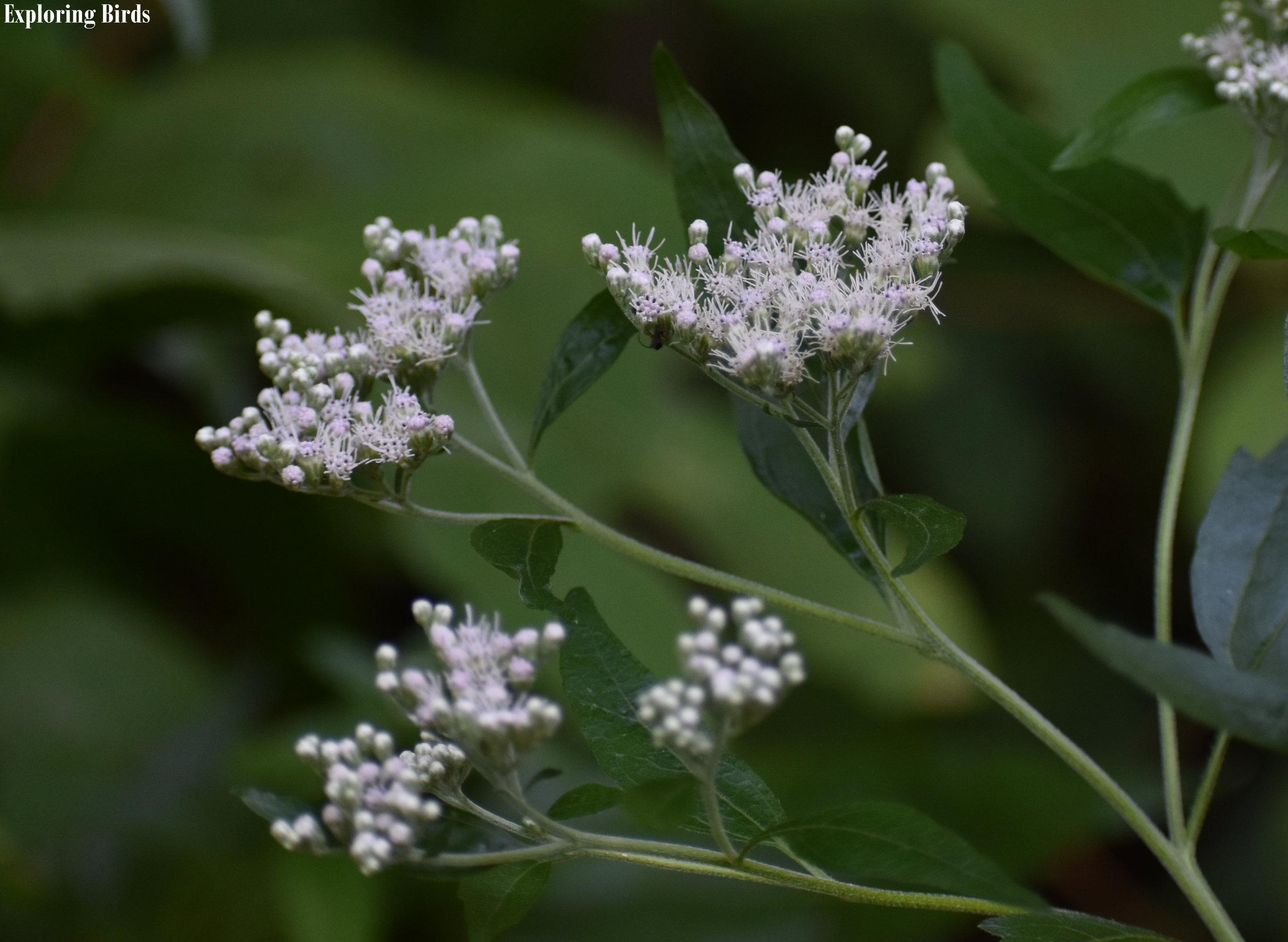 American Boneset is a flower that attracts birds