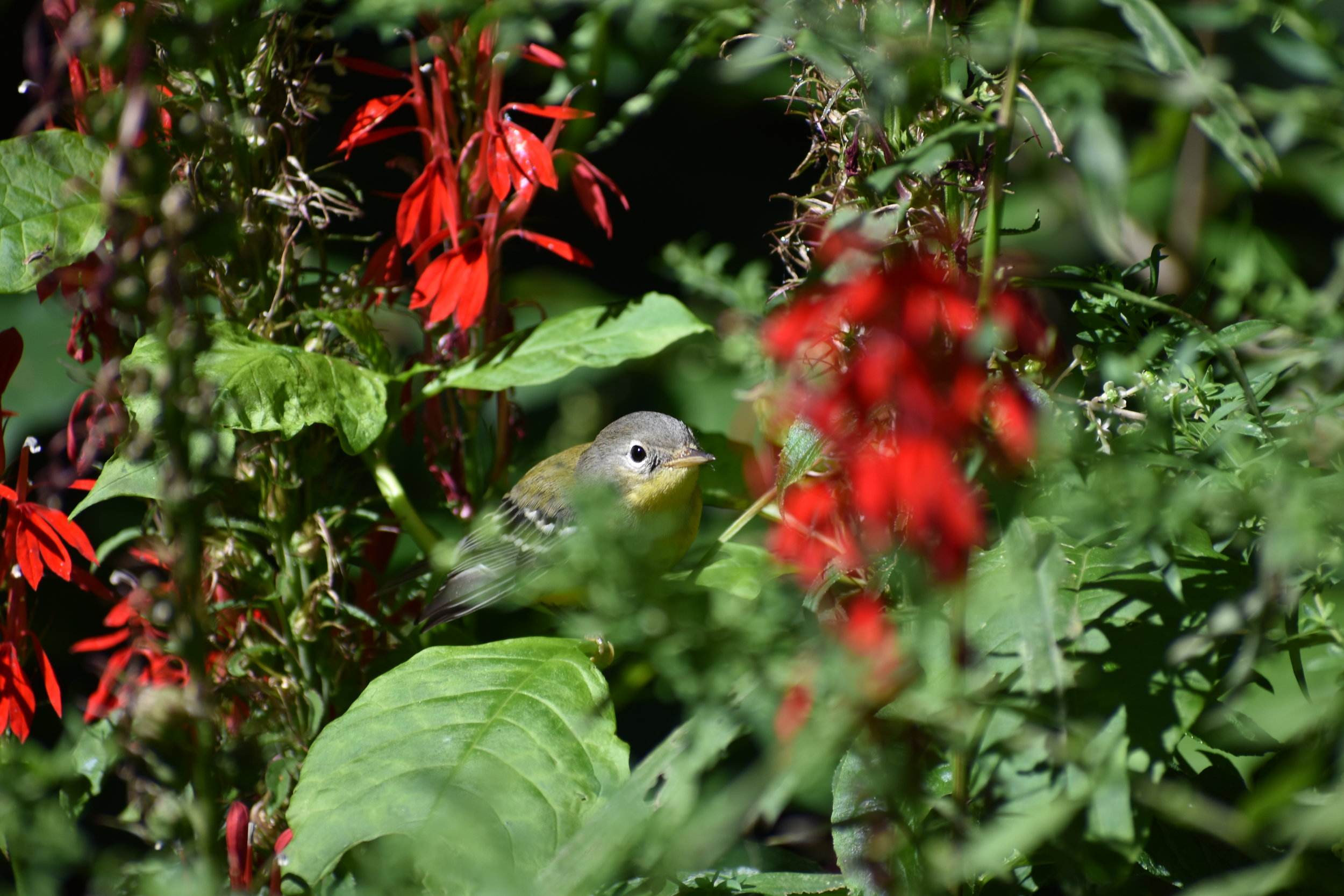 Magnolia Warbler & Cardinal Flower