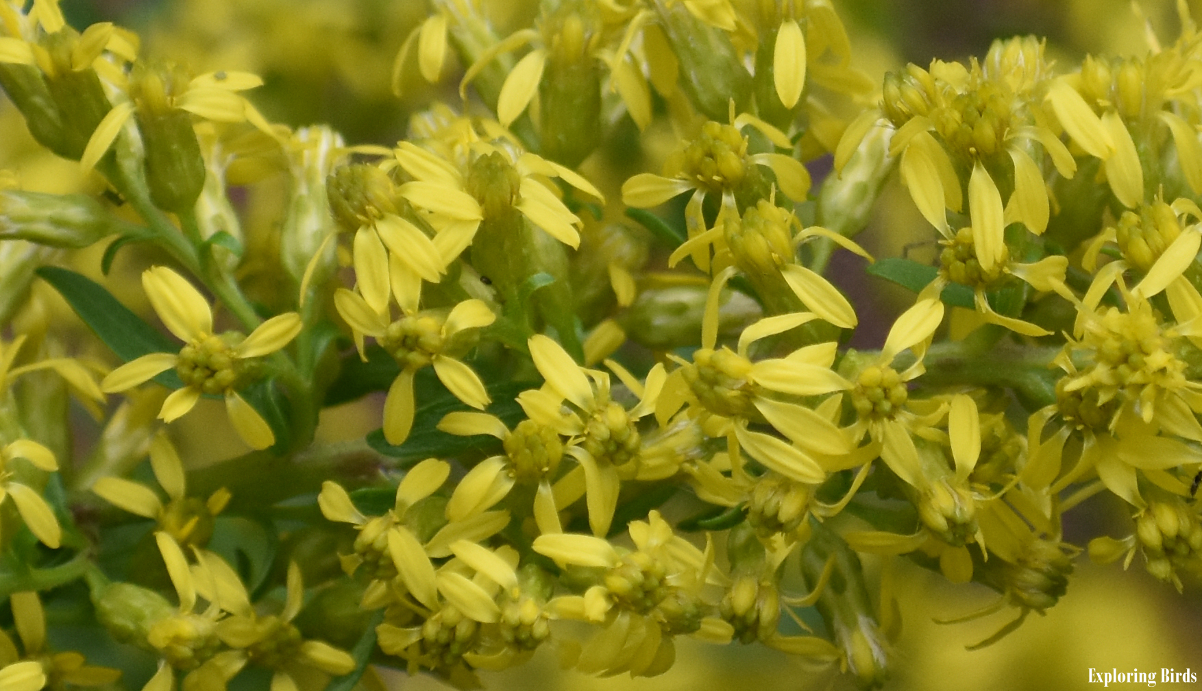 Goldenrod is a flower that attracts birds