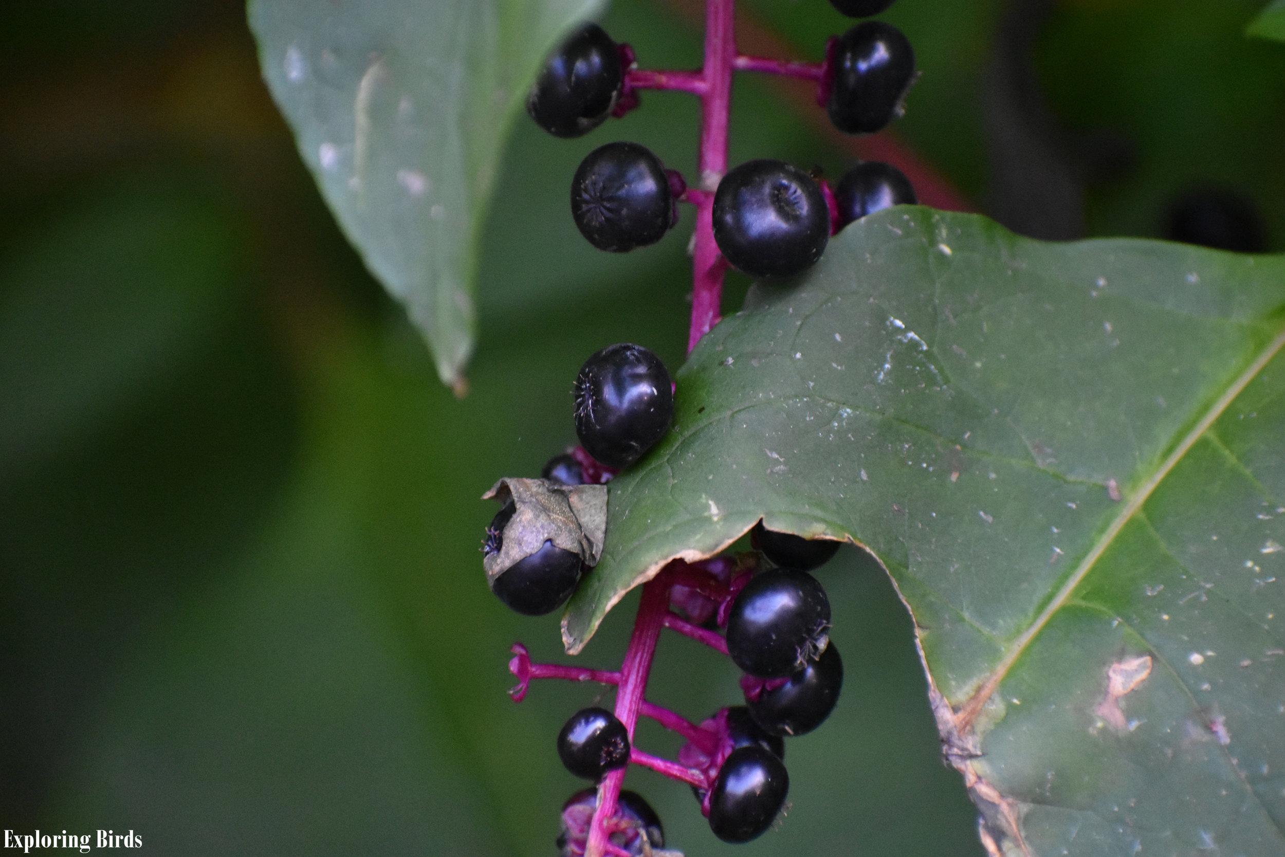 Pokeweed berries are eaten by American Robin