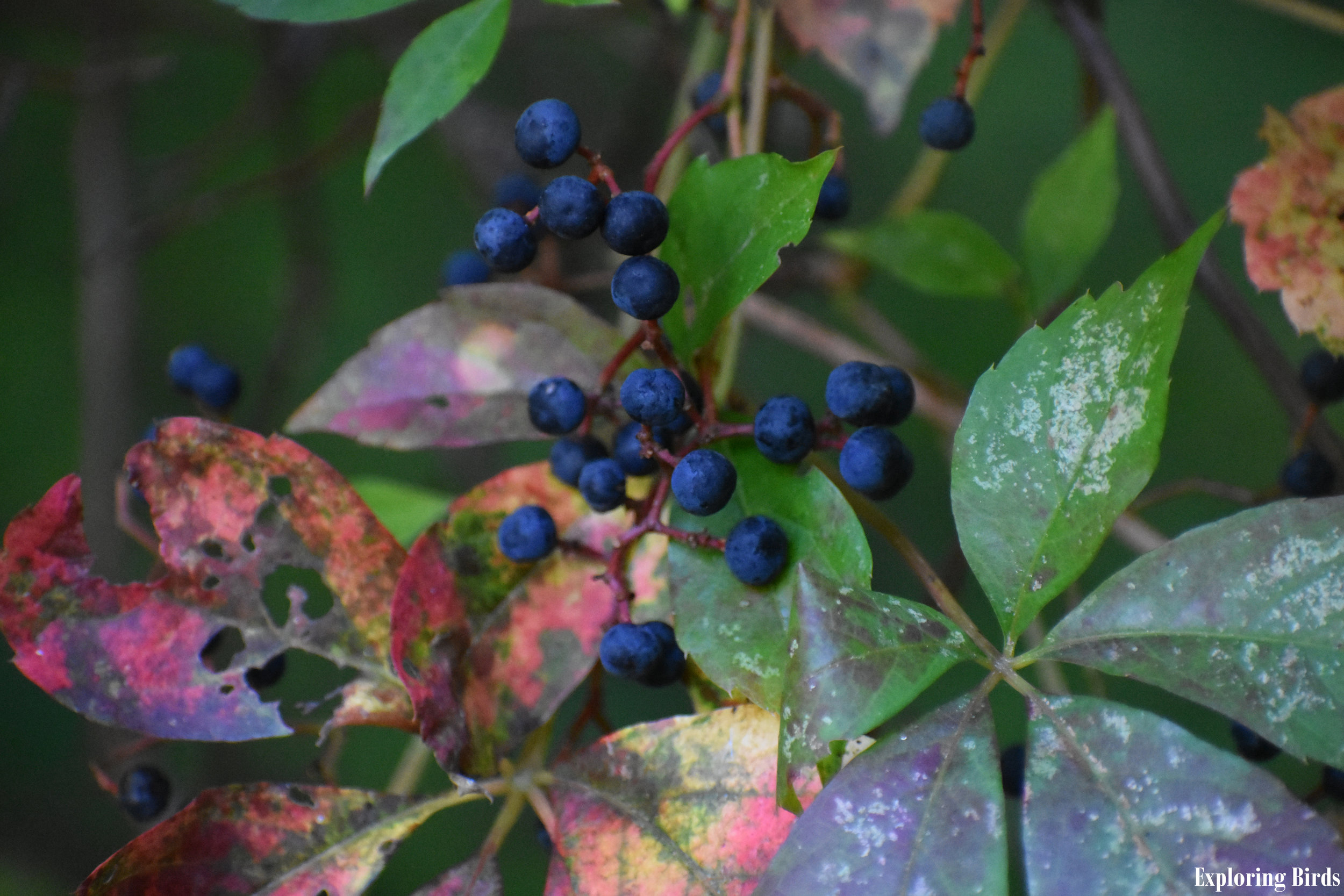 Virginia Creeper berries are eaten by Scarlet Tanager