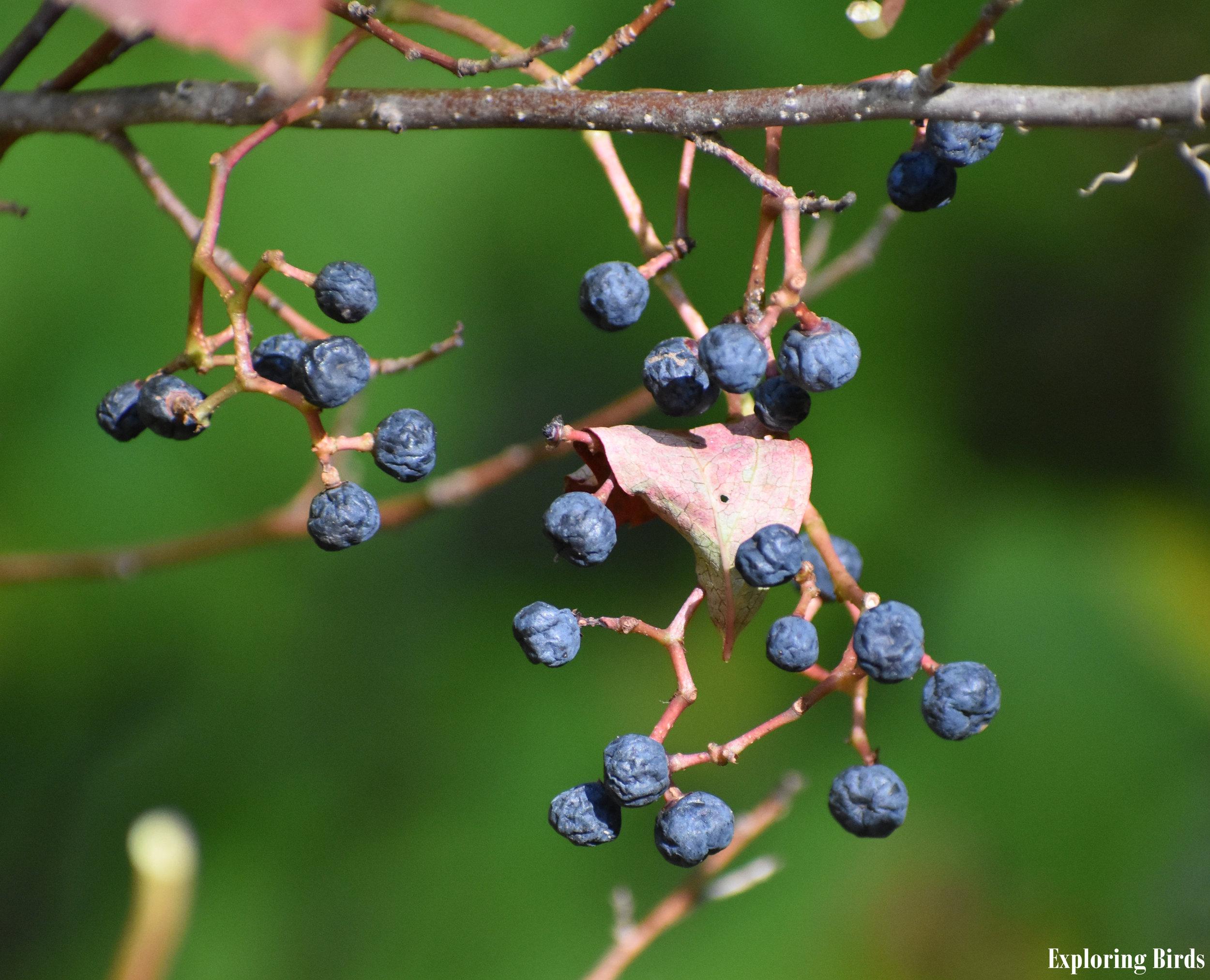 Virginia Creeper berries are eaten by Red-Bellied Woodpecker