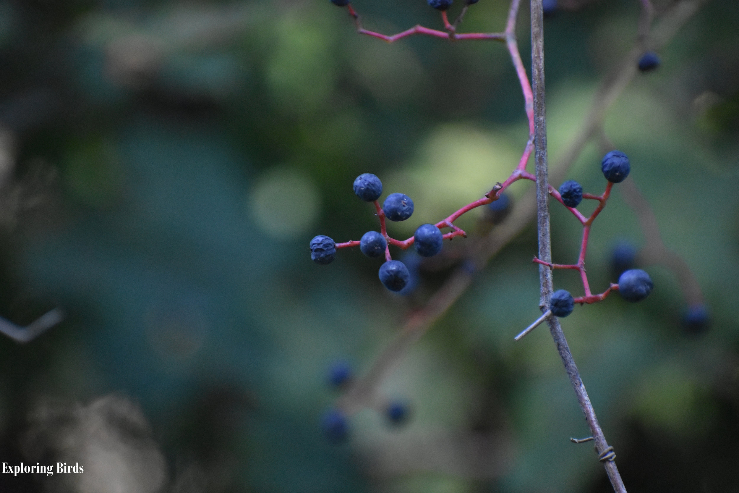 Virginia Creeper berries are eaten by Pileated Woodpecker